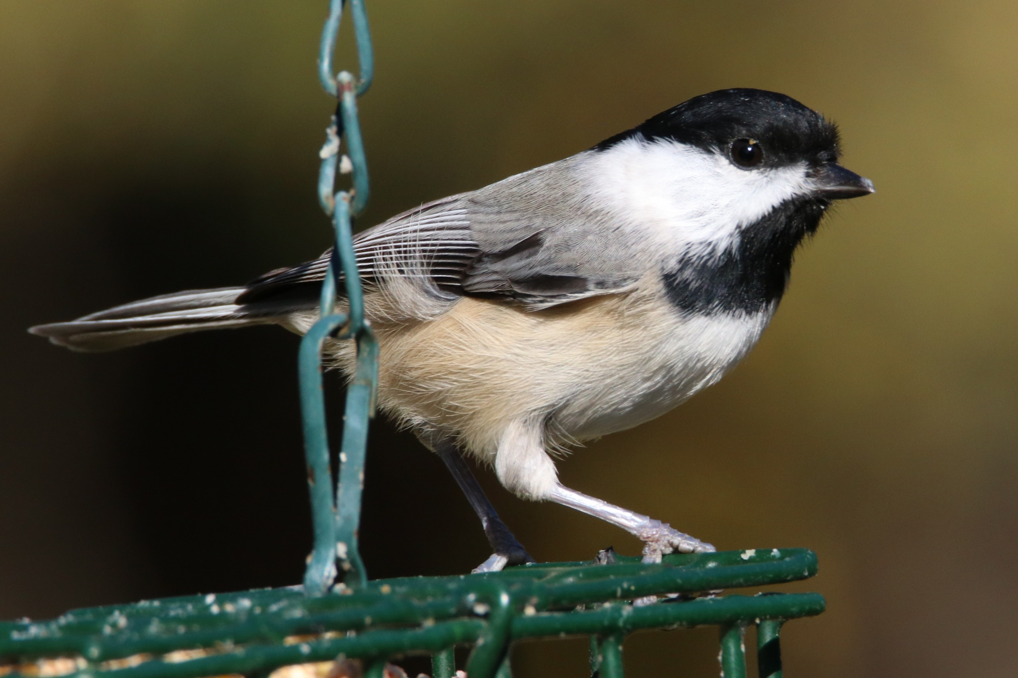 Chickadee by Gregory Kehle