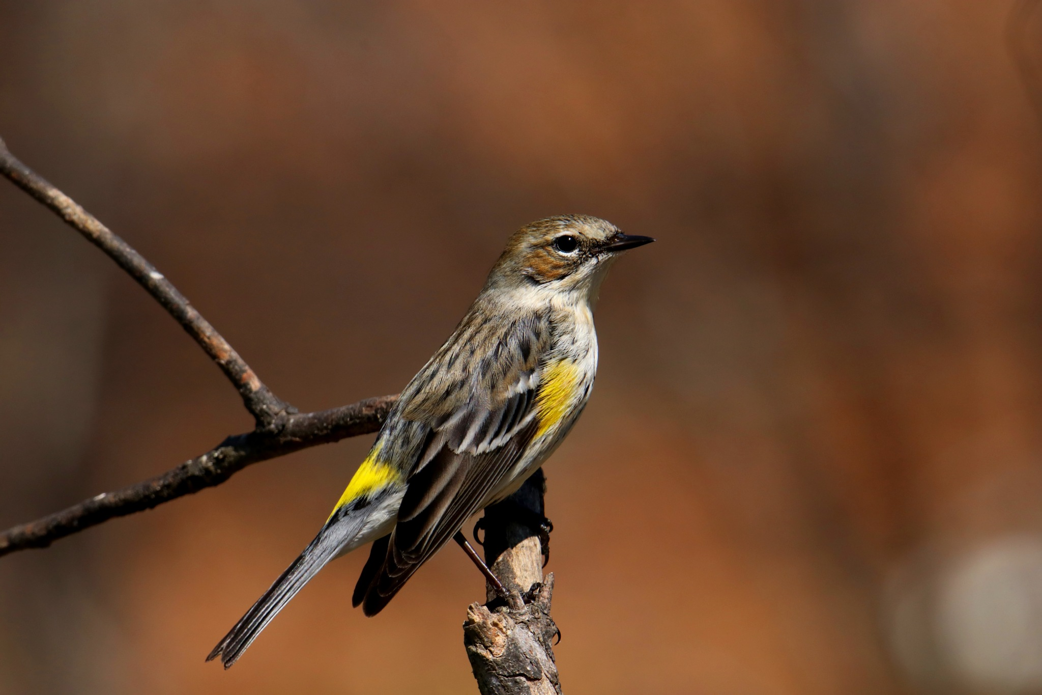 Yellow Rumped Warbler by Gregory Kehle