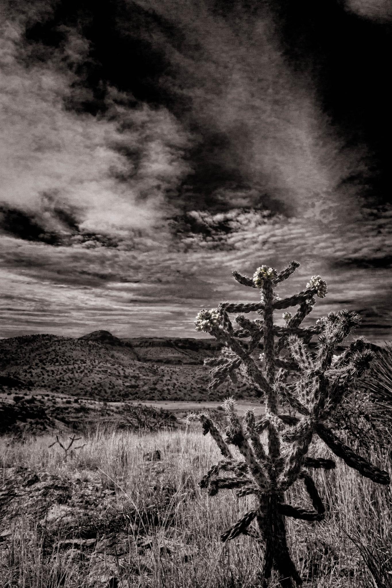 Chihuahuan Desert cholla by John Mark Jennings