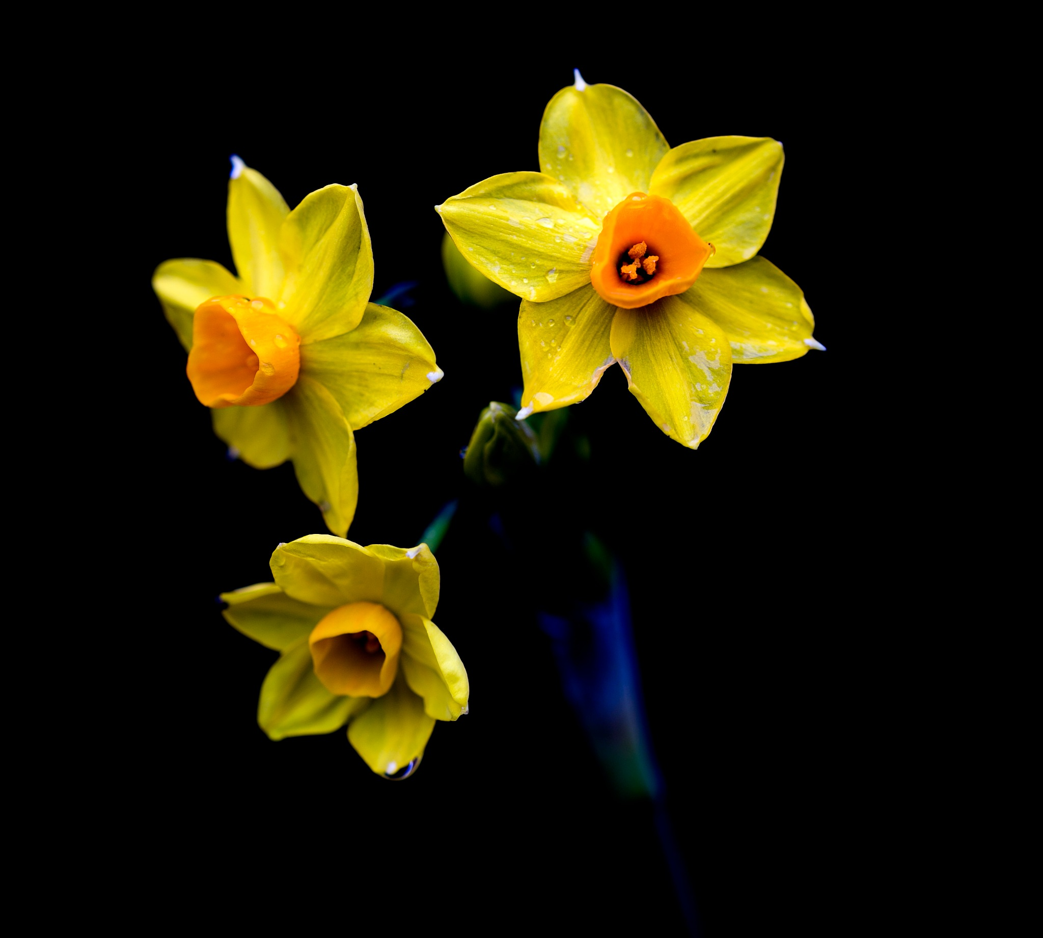 First Daffodil this year by Albert Houston