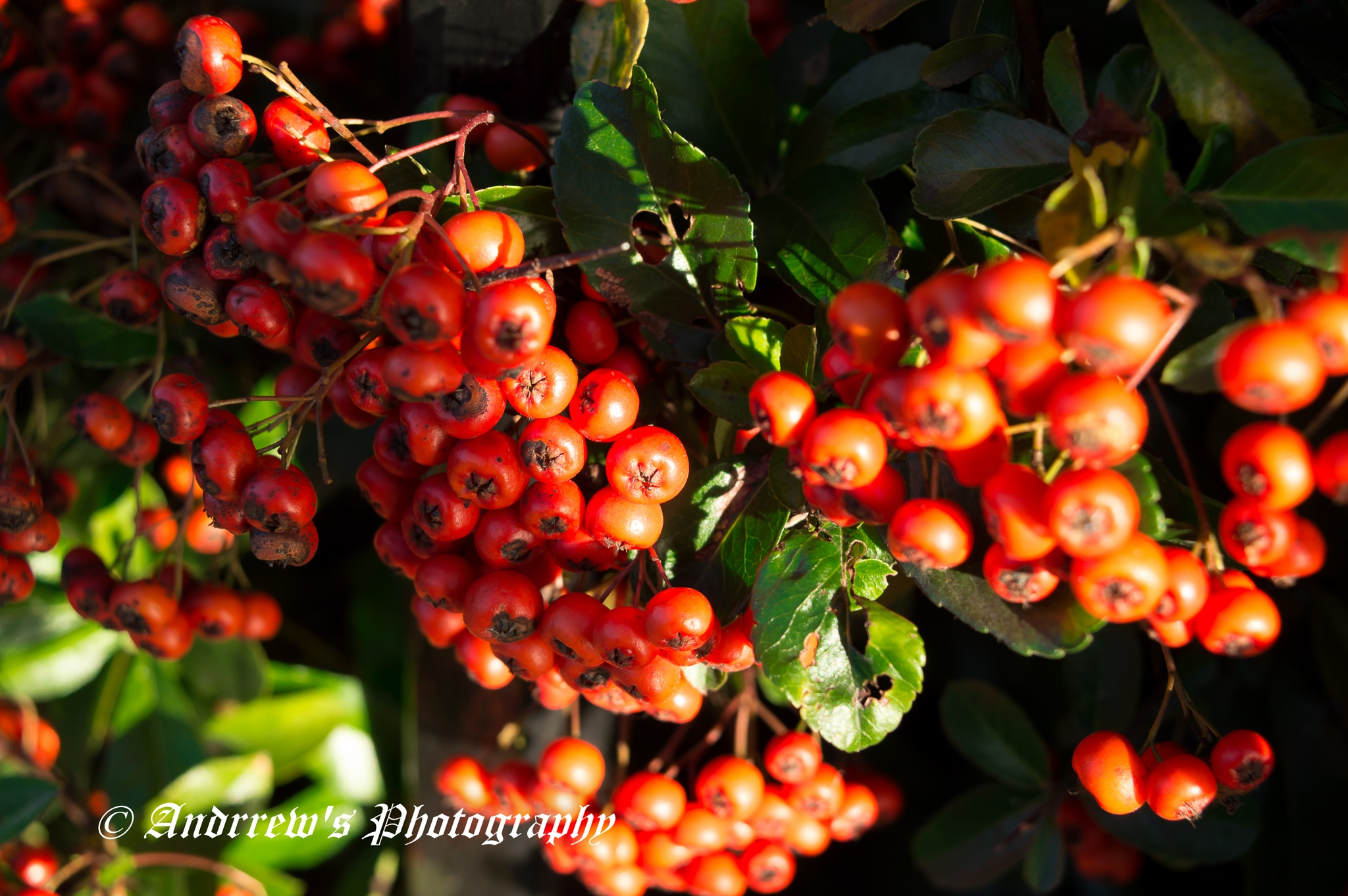 Red berries 2 by Andrew H