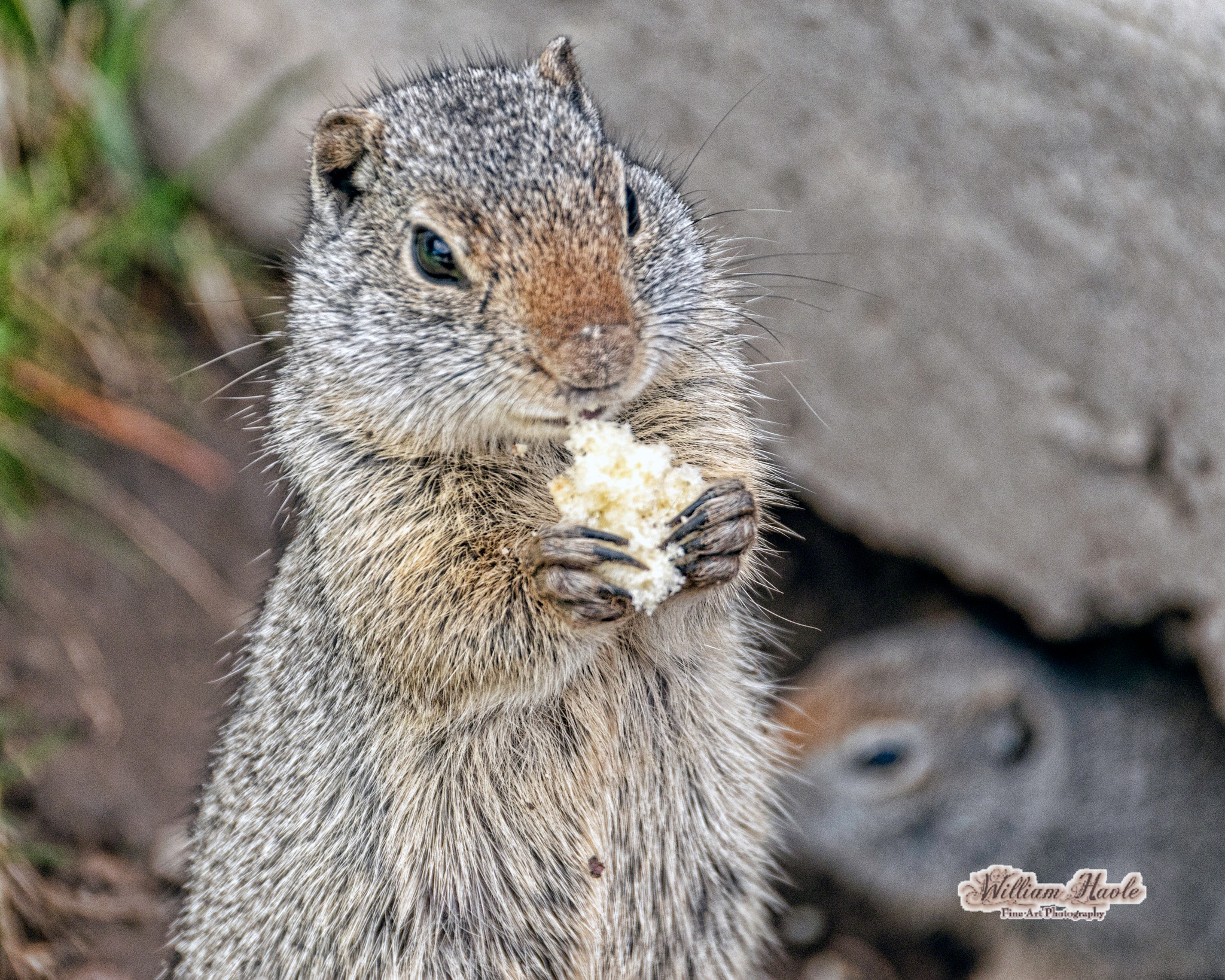 Ground Squarrel Eating by Bill Havle