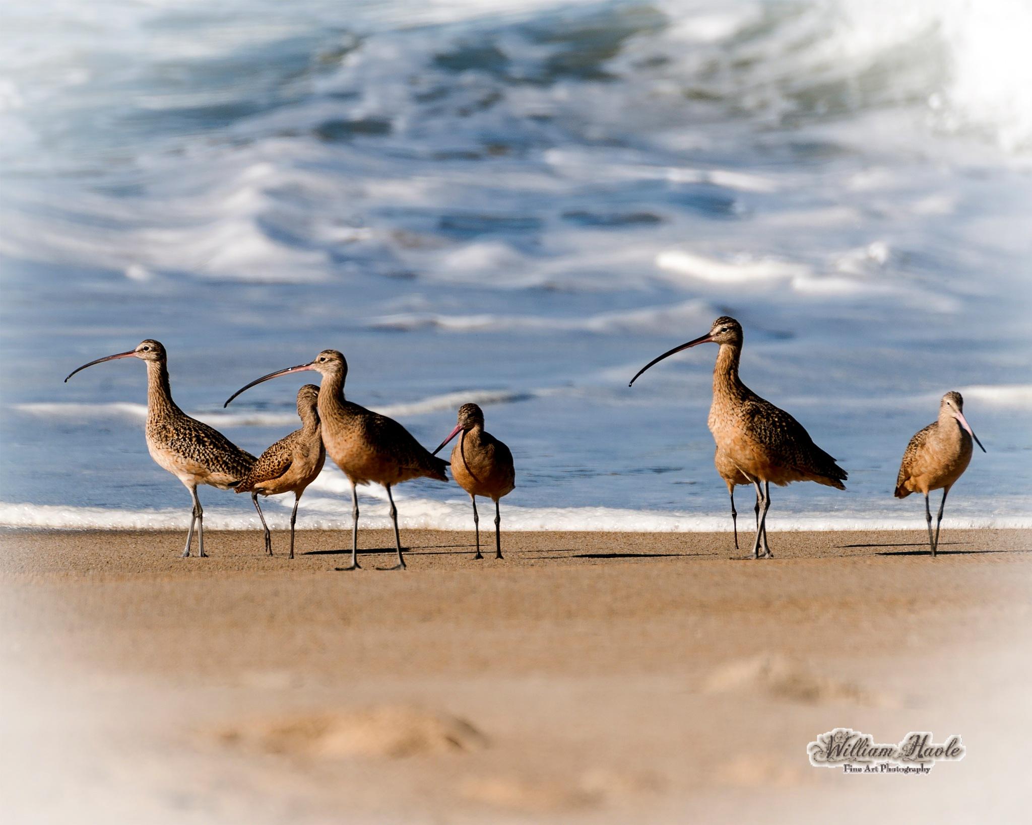 Long Billed Curlew by Bill Havle