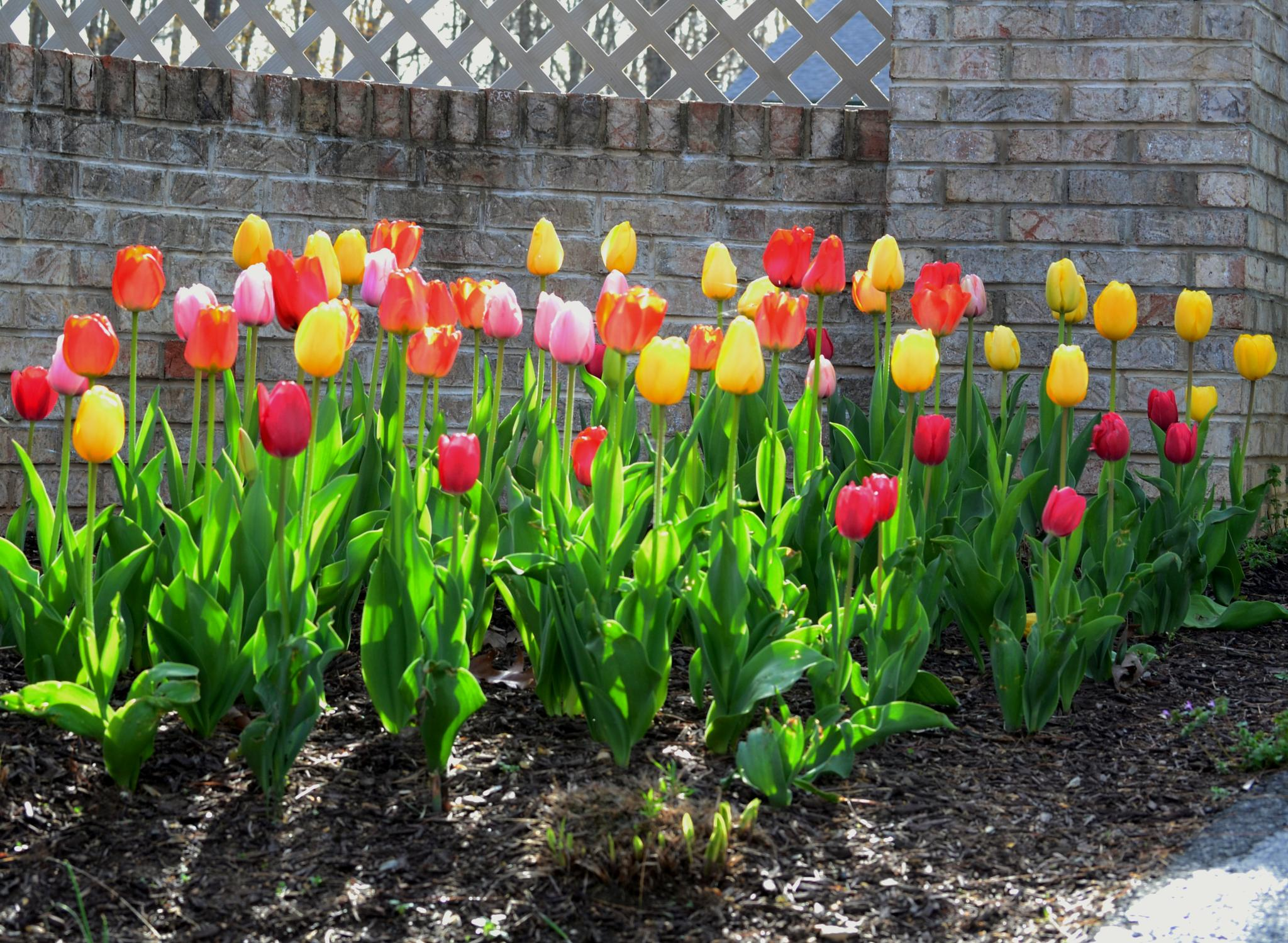 Photo in Landscape #tulips #springtime #landscaping #flowers #walkaboutphotography
