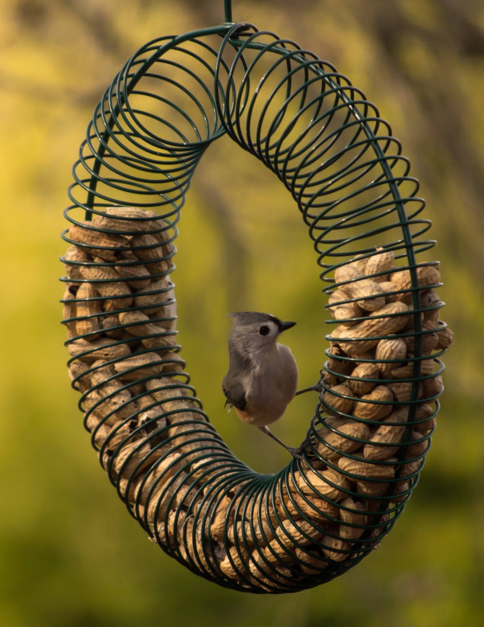 Tufted Titmouse by Jamie Critzer