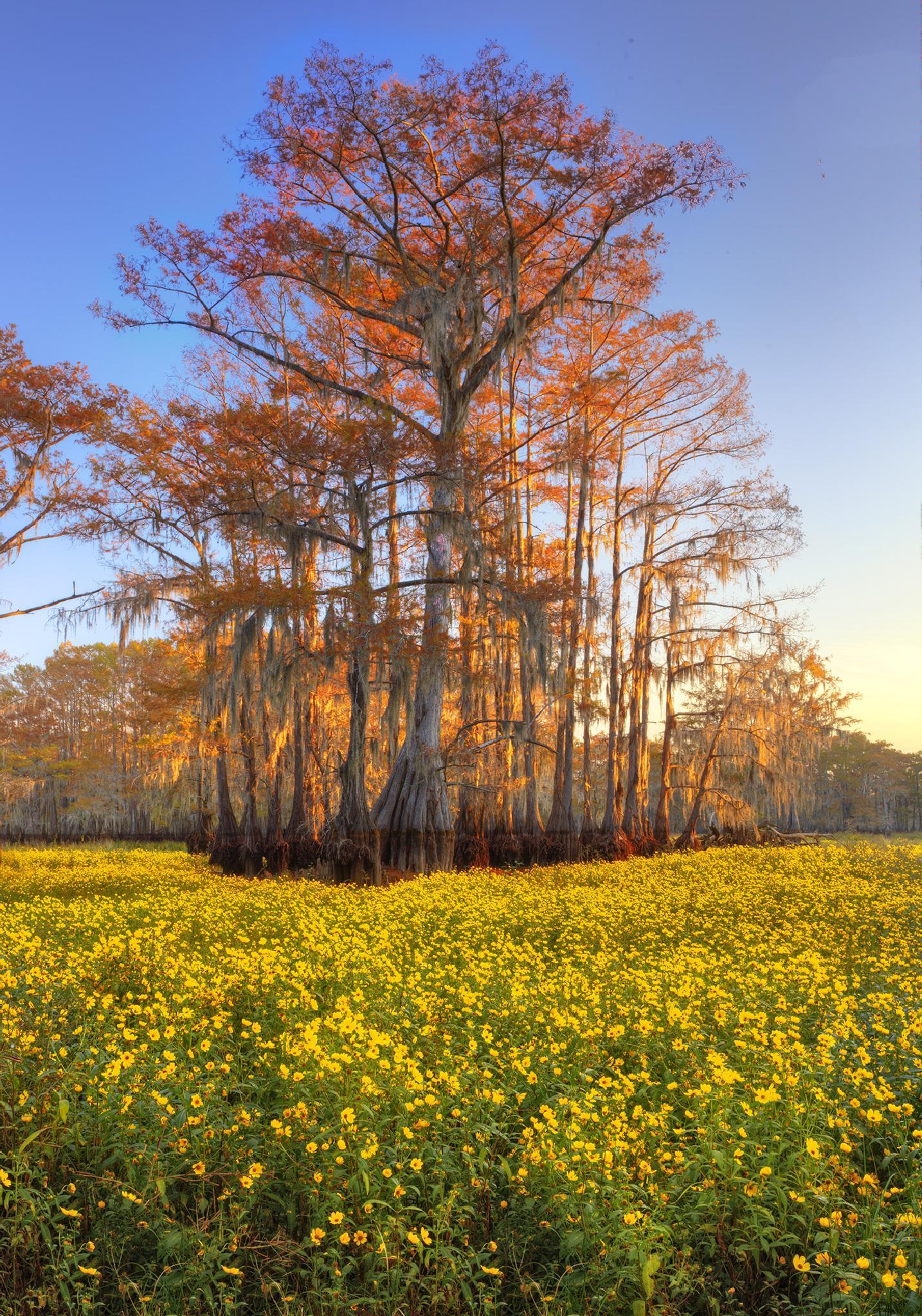 Photo in Landscape #louisiana #swamp #cypress #flowers