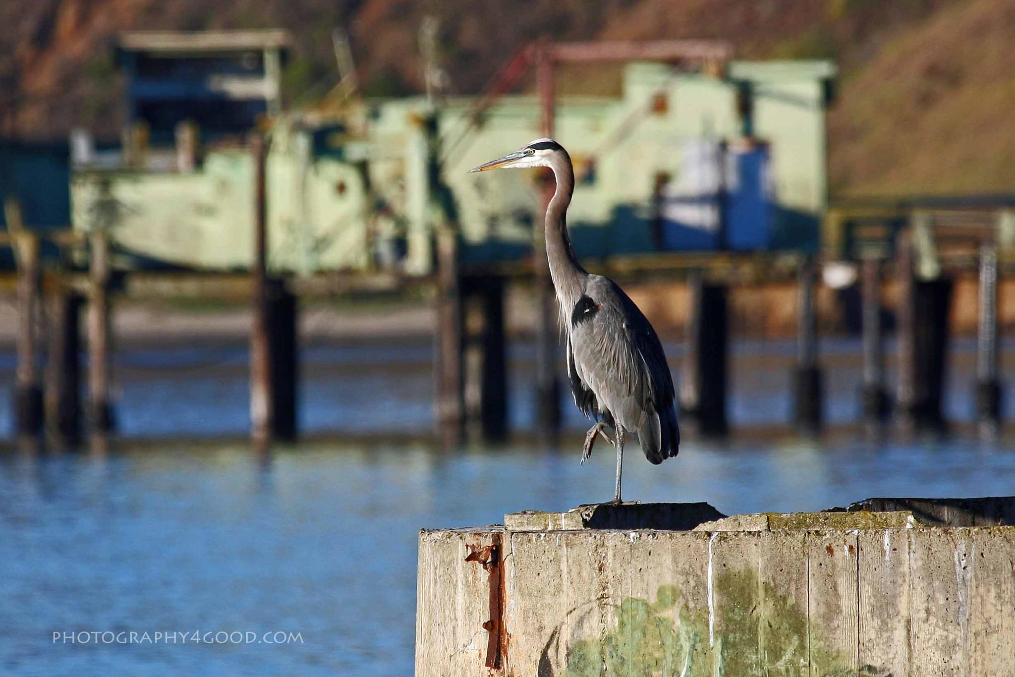 Great Blue Heron in front of Romeo Pier by John_Ediger