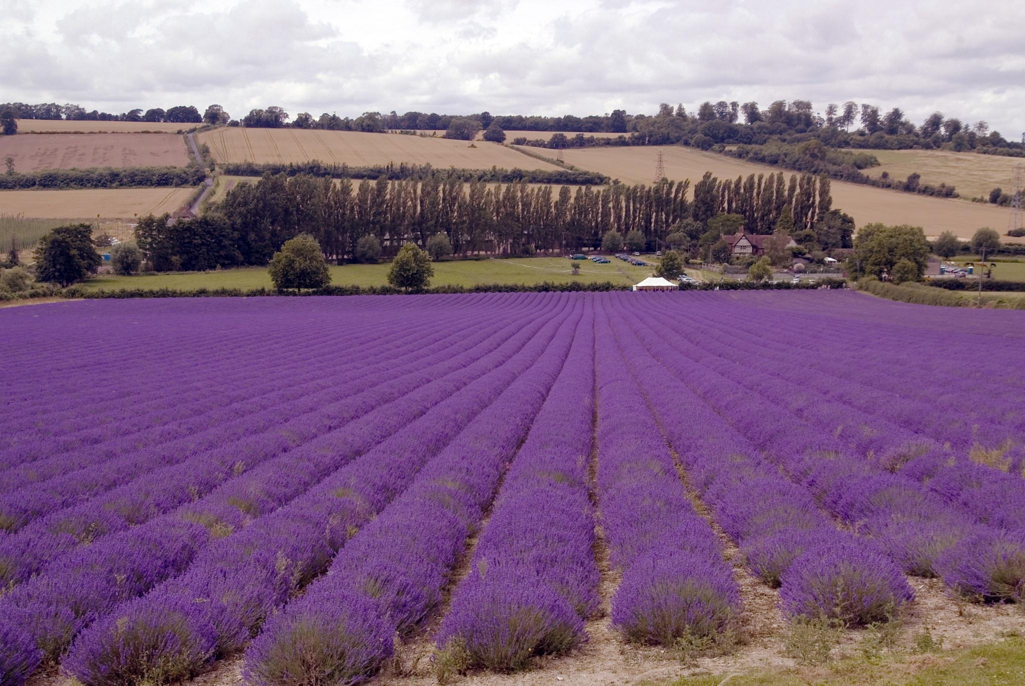 Castle farm Lavender Kent by Jim Hellier