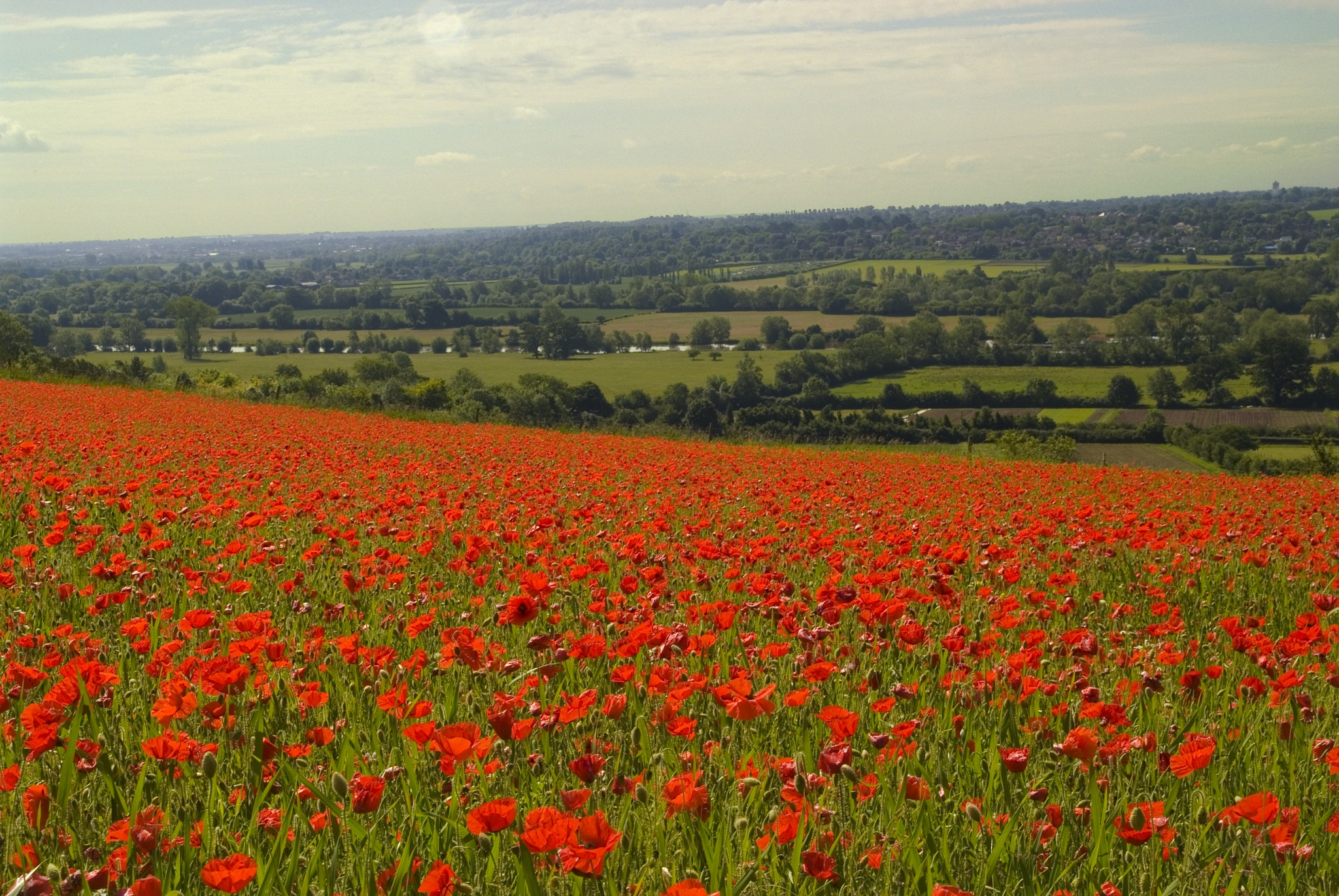 Poppies Thames Valley  by Jim Hellier