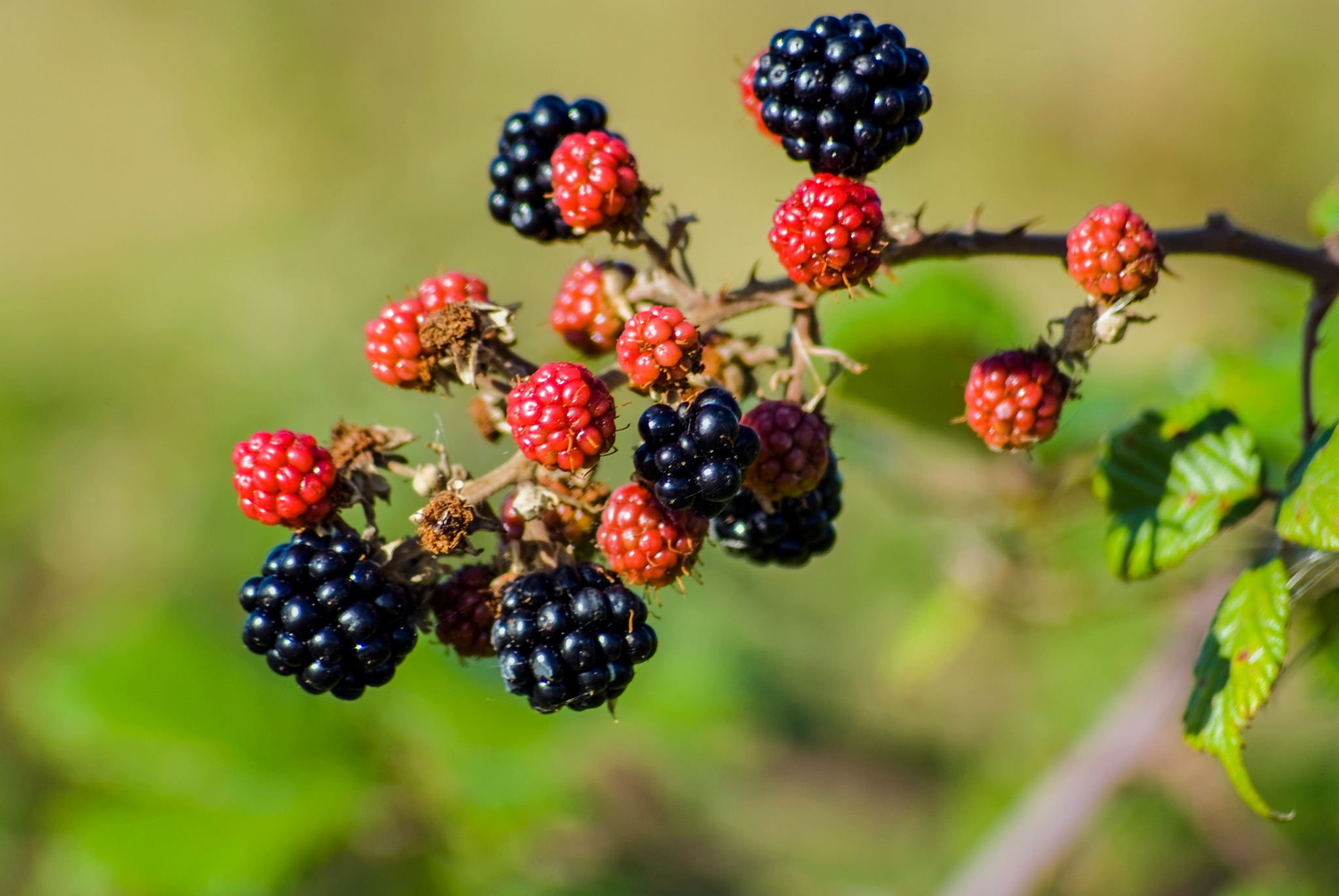 Black Berries  by Jim Hellier