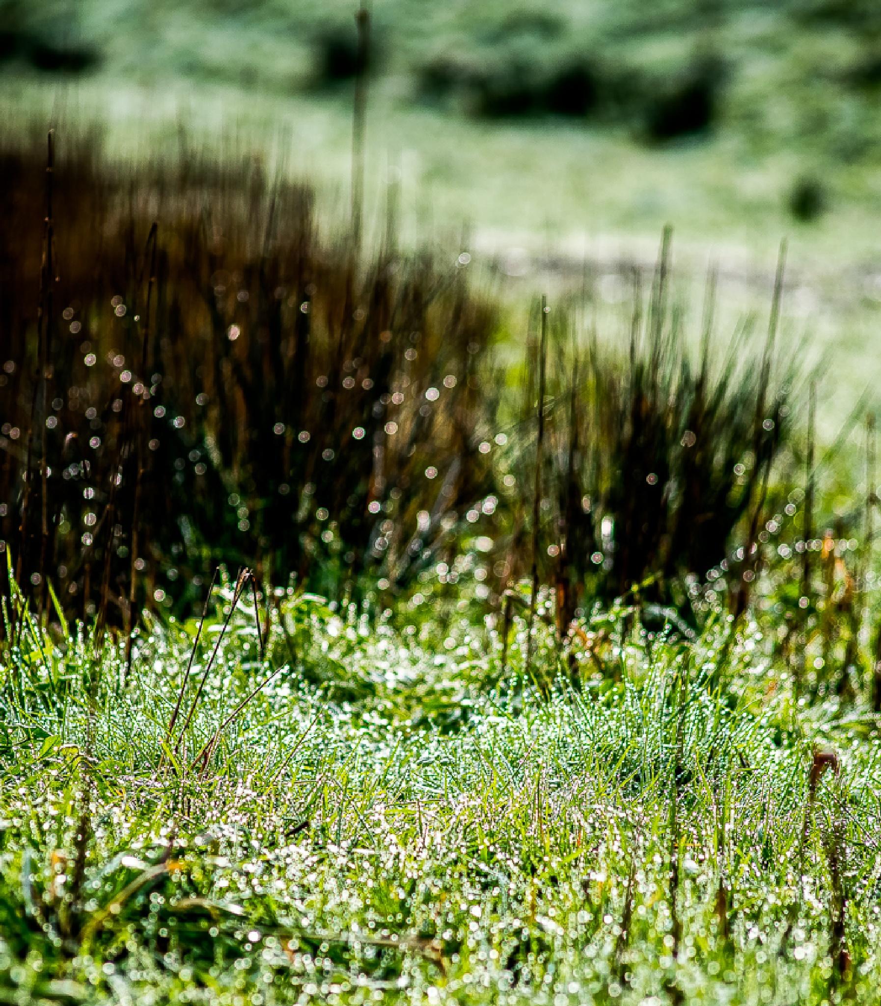 Dewy grass by madchickenwoman