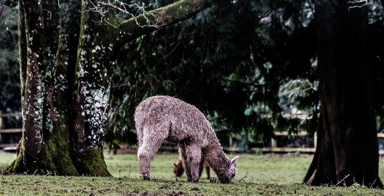 Them's Llamas! by madchickenwoman