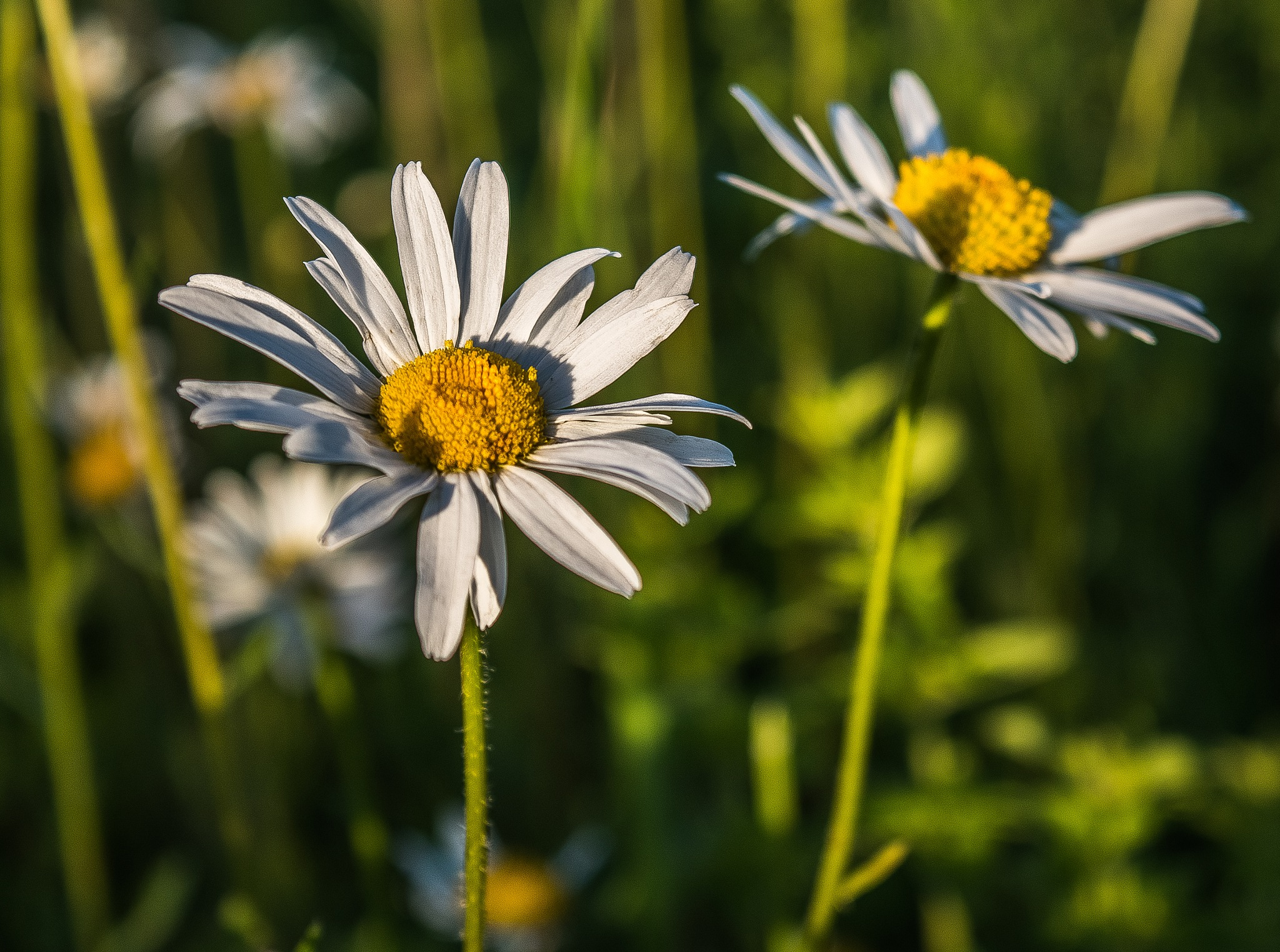 Evening Daisies by madchickenwoman