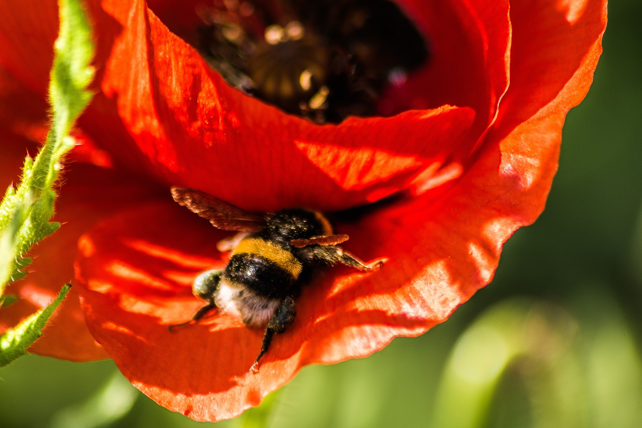 Bumbling Bumble Bee by madchickenwoman