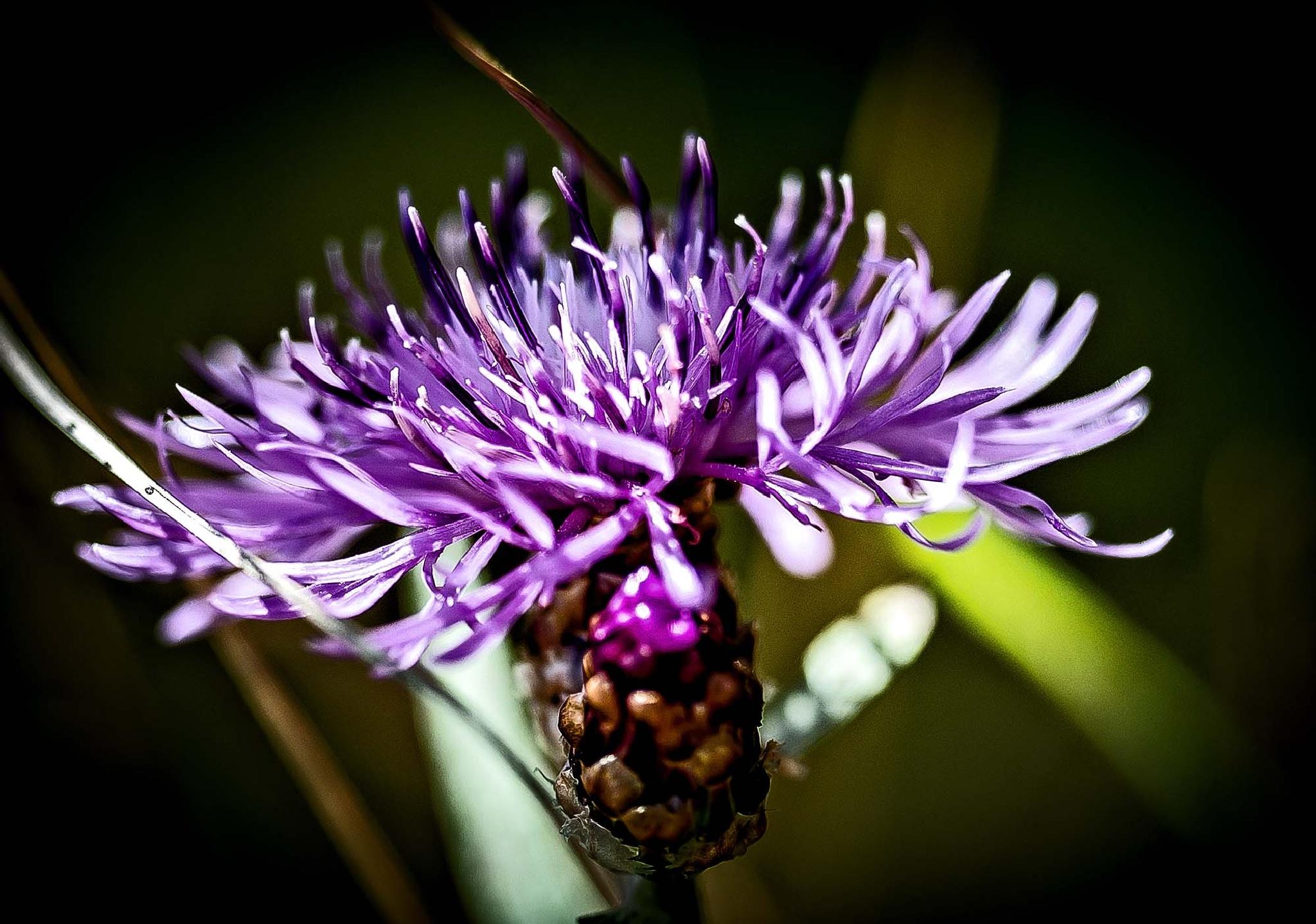 Meadow flower  by bo