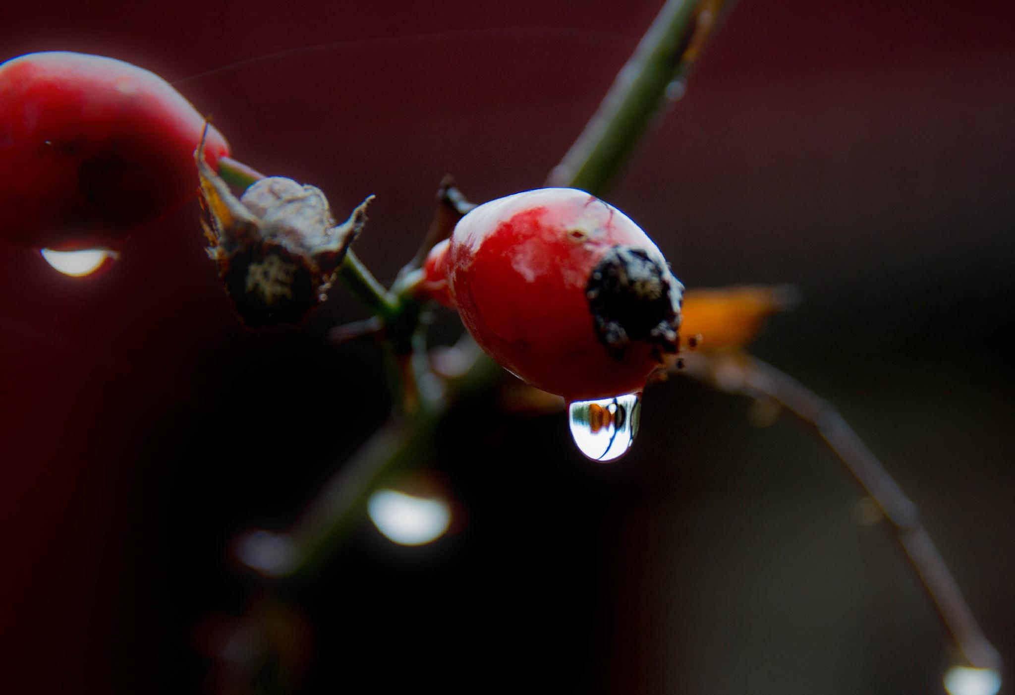 Water drop of rosehip berries by bo