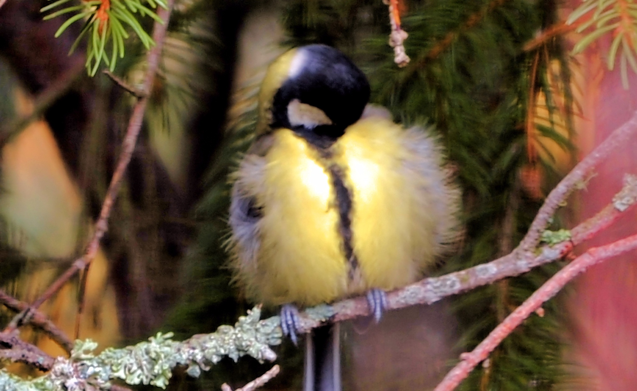 Great Tit by bo
