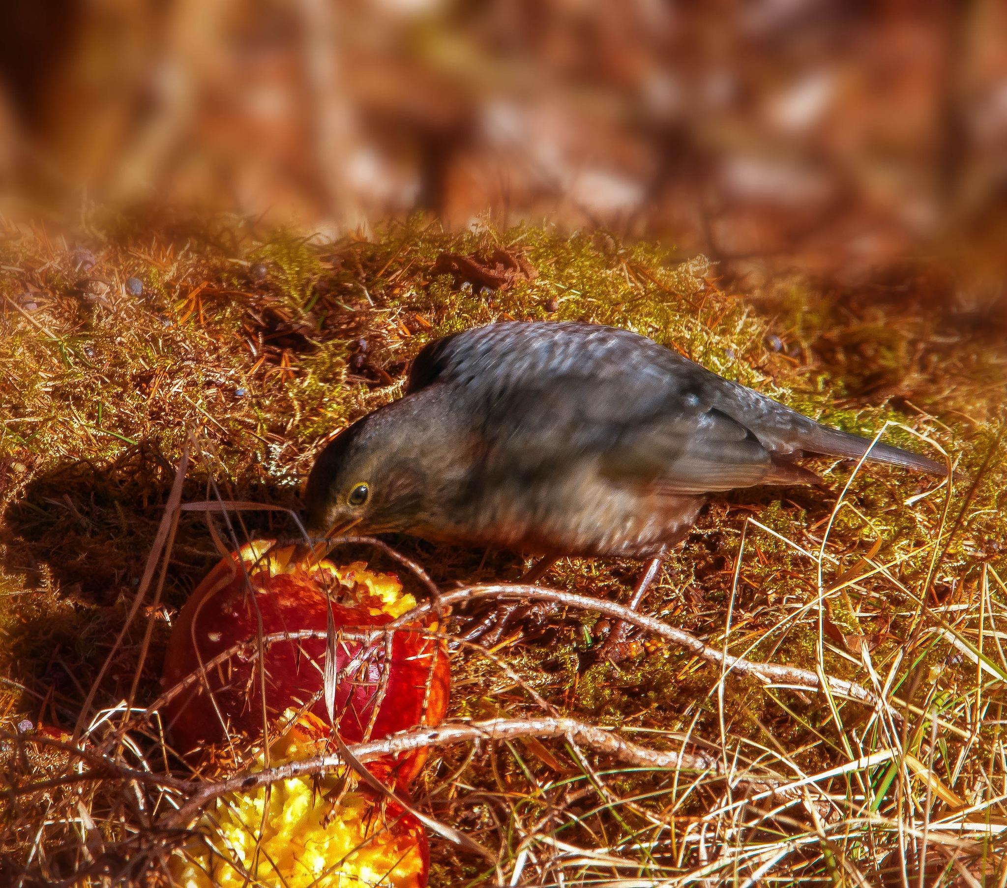 Hungry blackbird female by bo