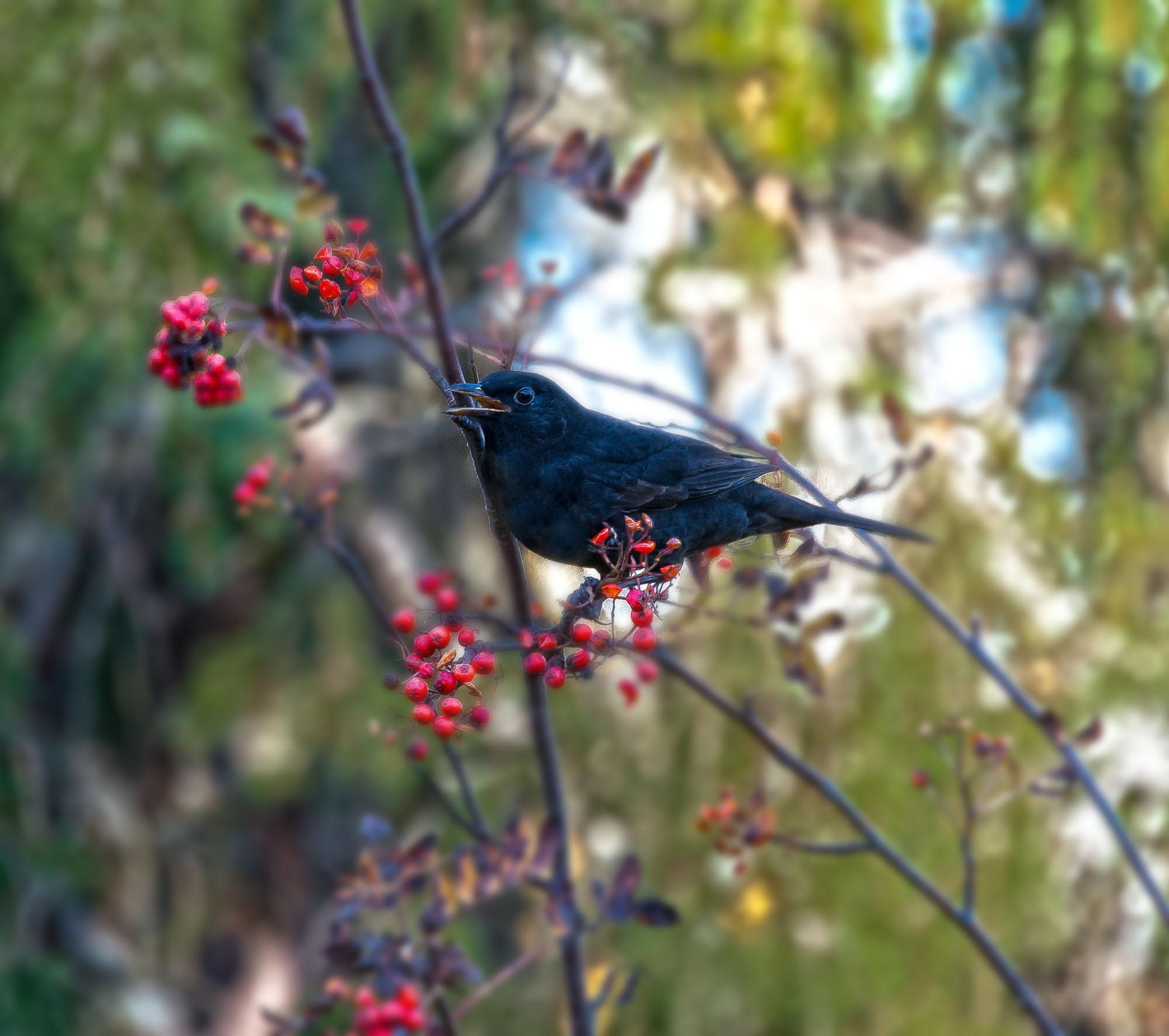 Birdie nam nam my friend blackbird is back and eat leftovers. by bo