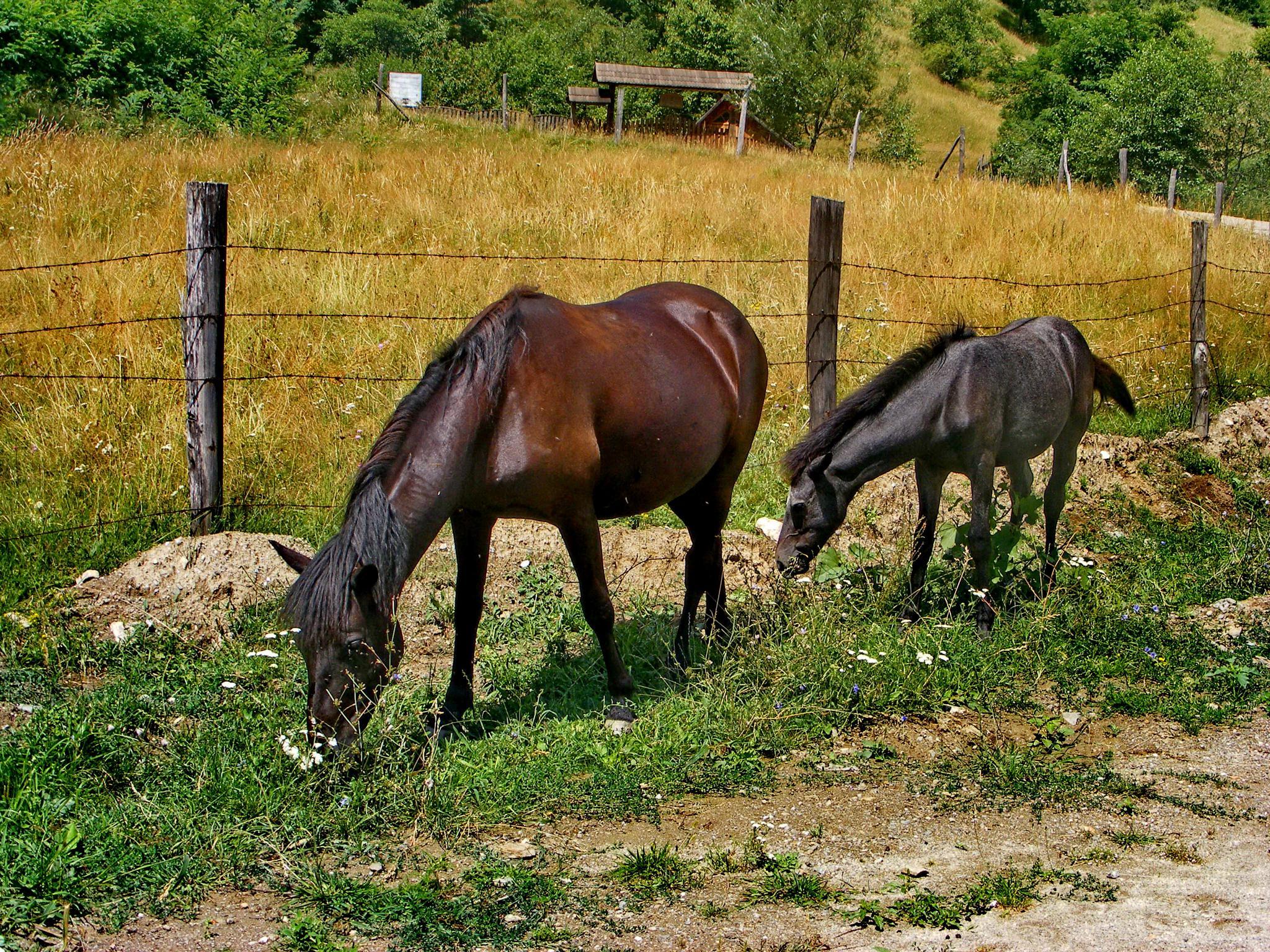 Horses by Irina Carmen Brinza