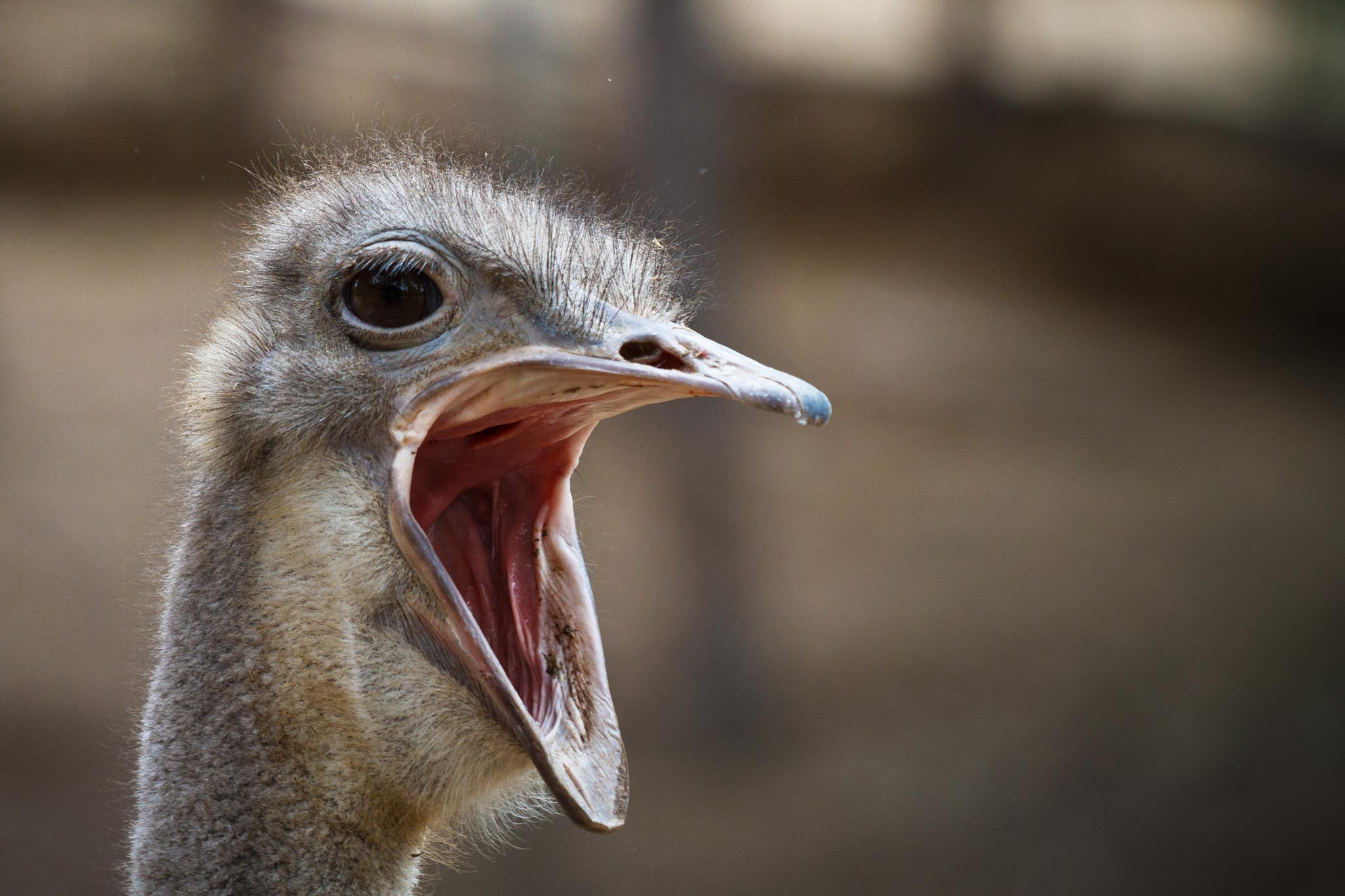 Photo in Animal #struzzo #ostrich #eccelli