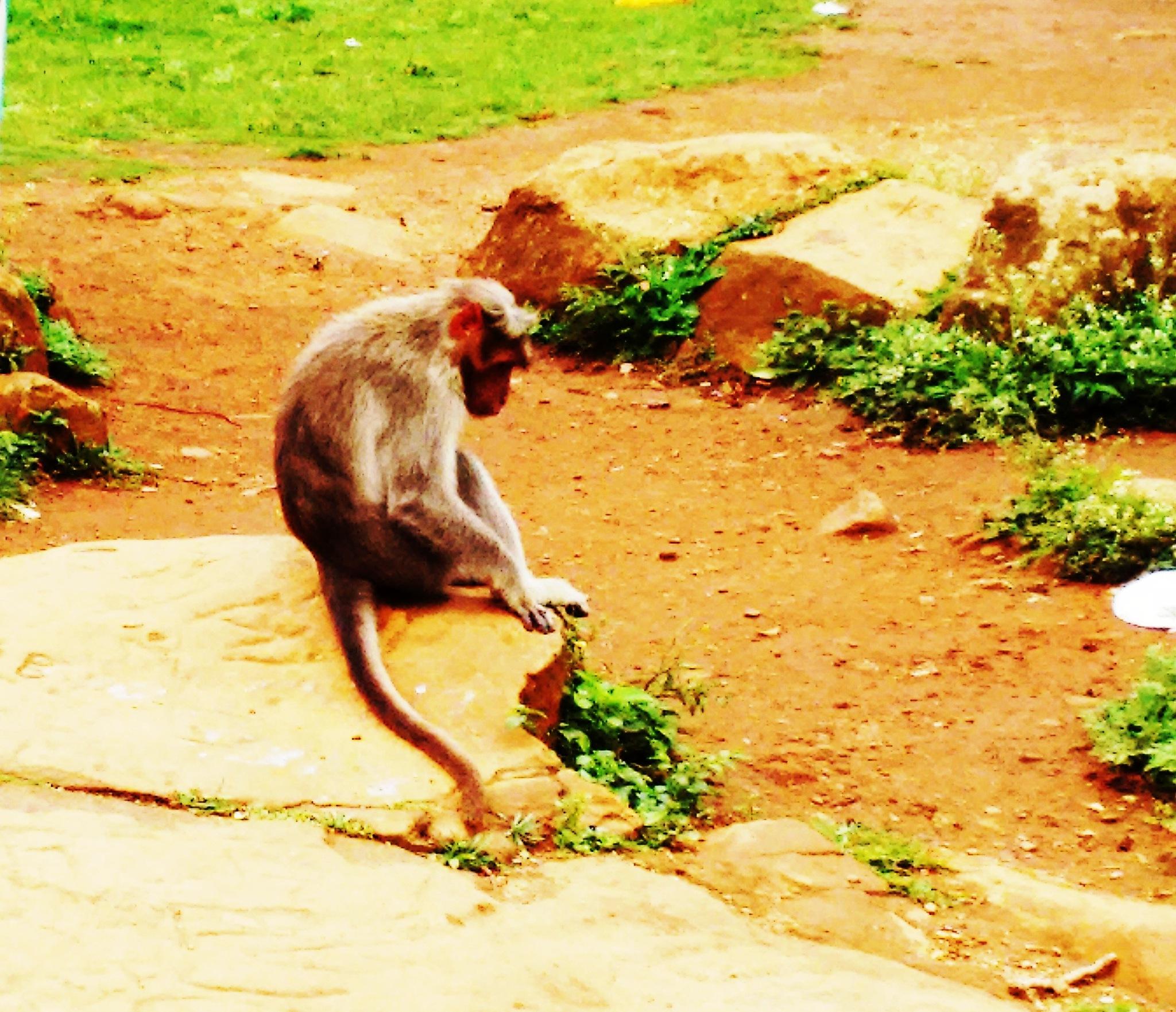 Meditating Monkey by Shankar Haritsa