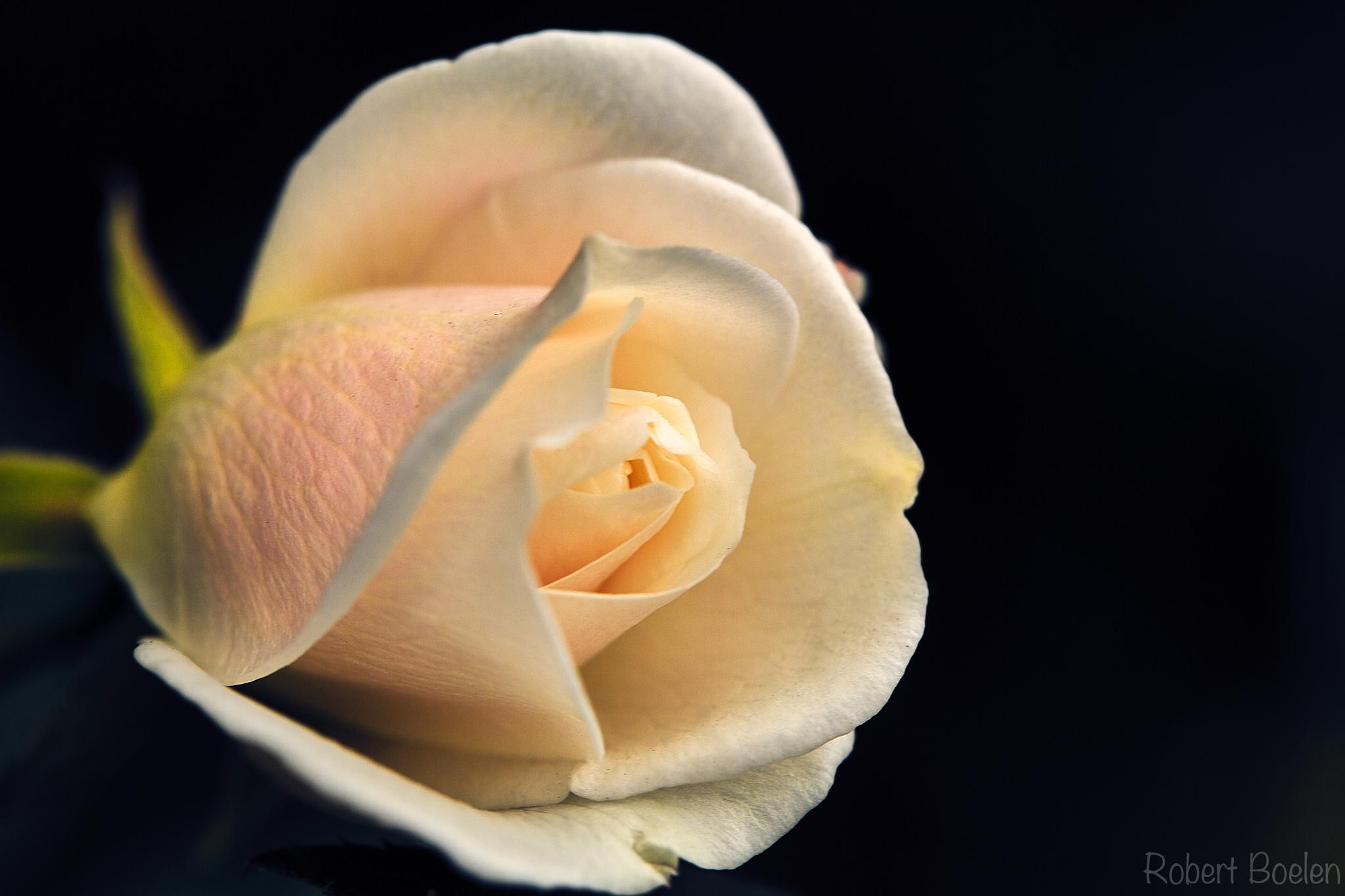 Lovely White Rose with Pink Highlights. by Robert Boelen