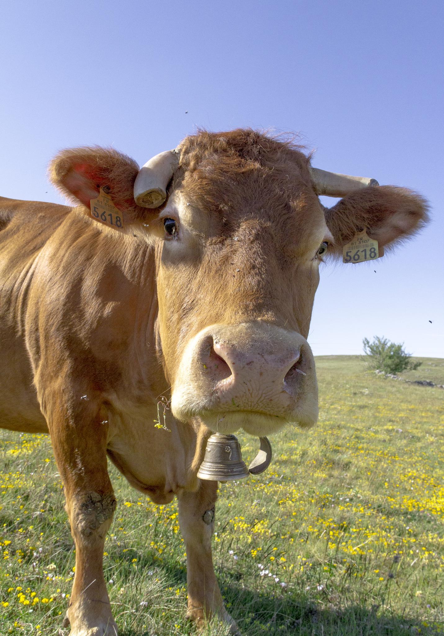 Cow by Miguel Cruz