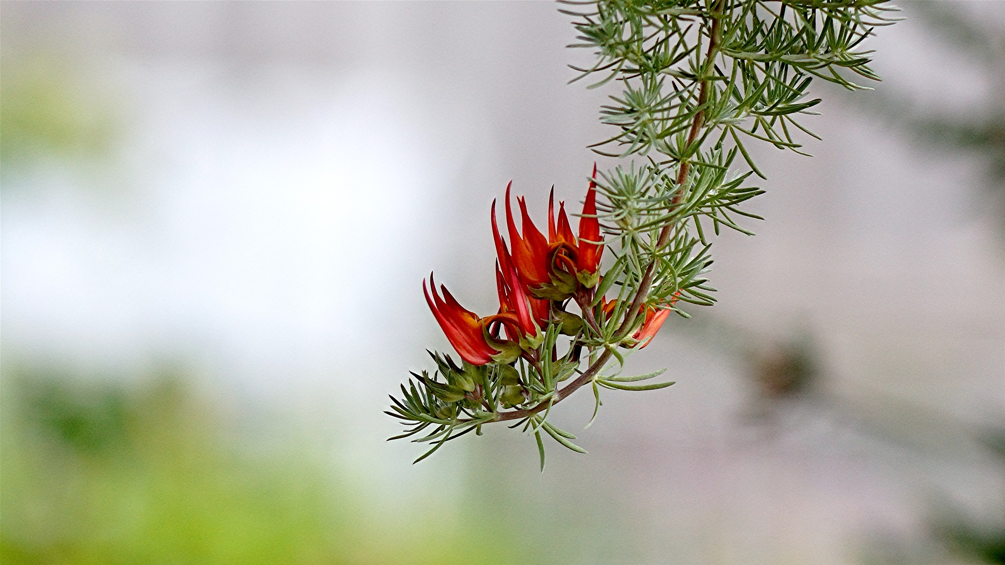 Flame like plant by Peter Schofield