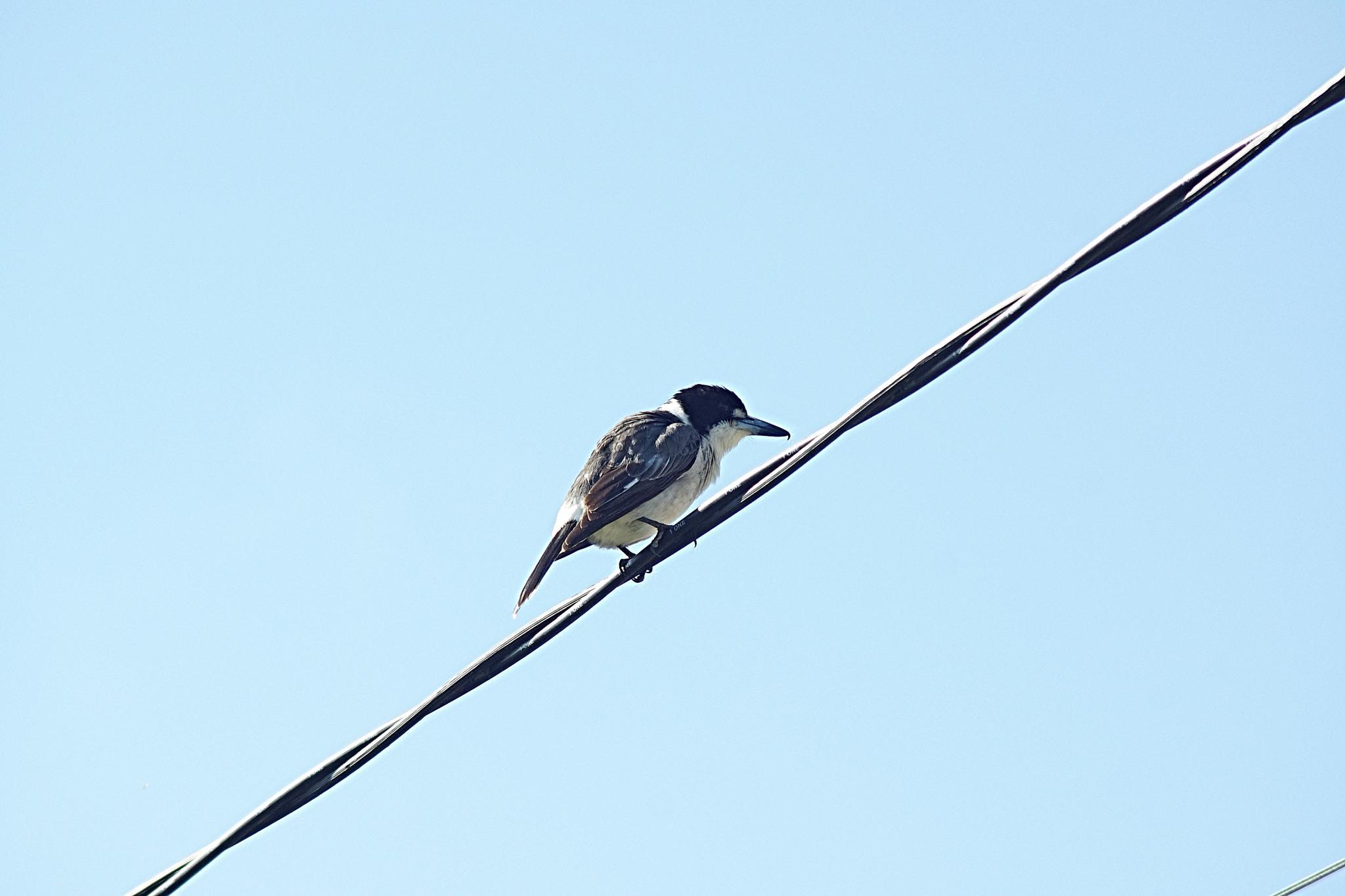 Australian Butcherbird by Peter Schofield