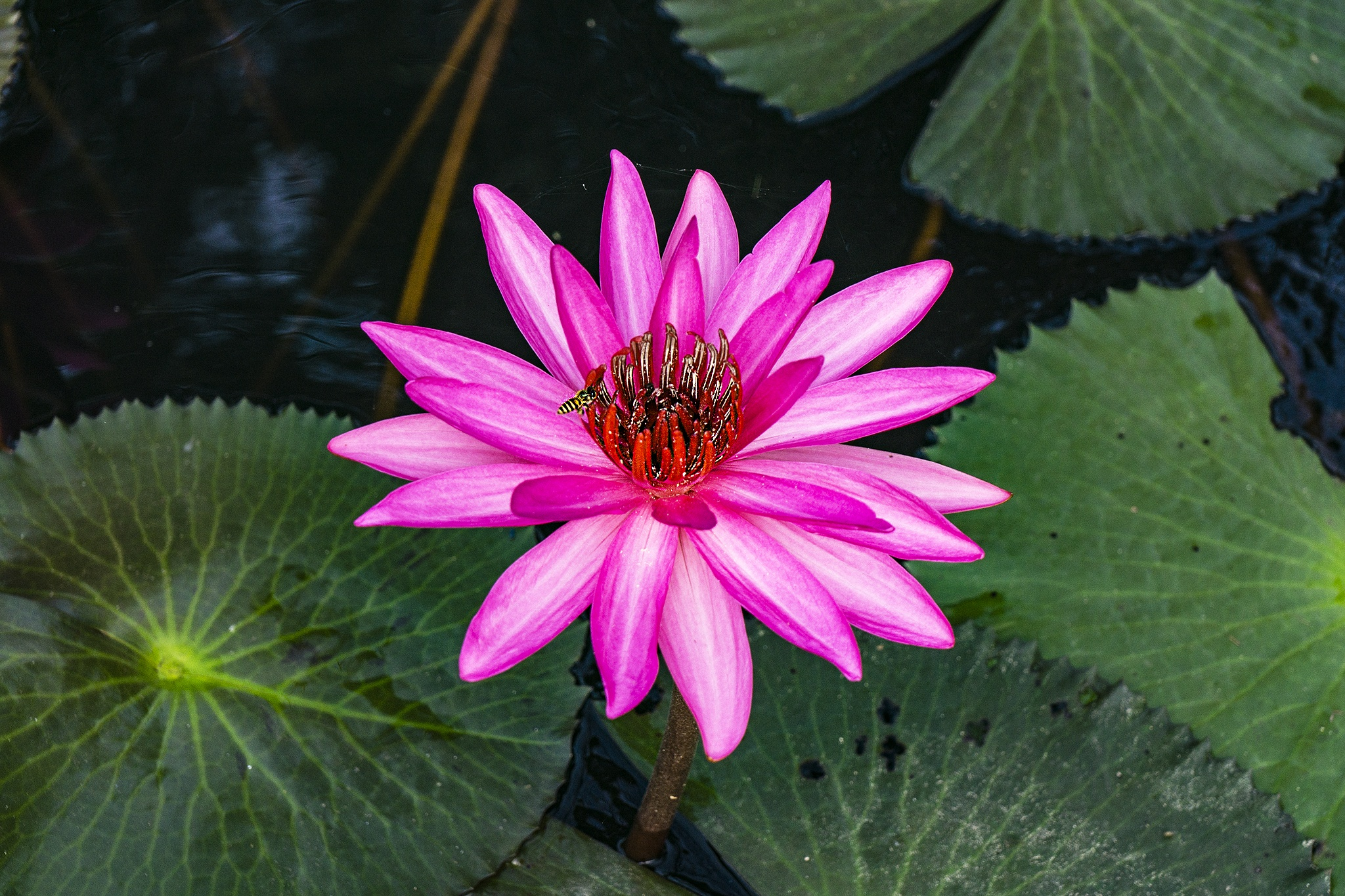 Waterlily flower by Nguyet Le
