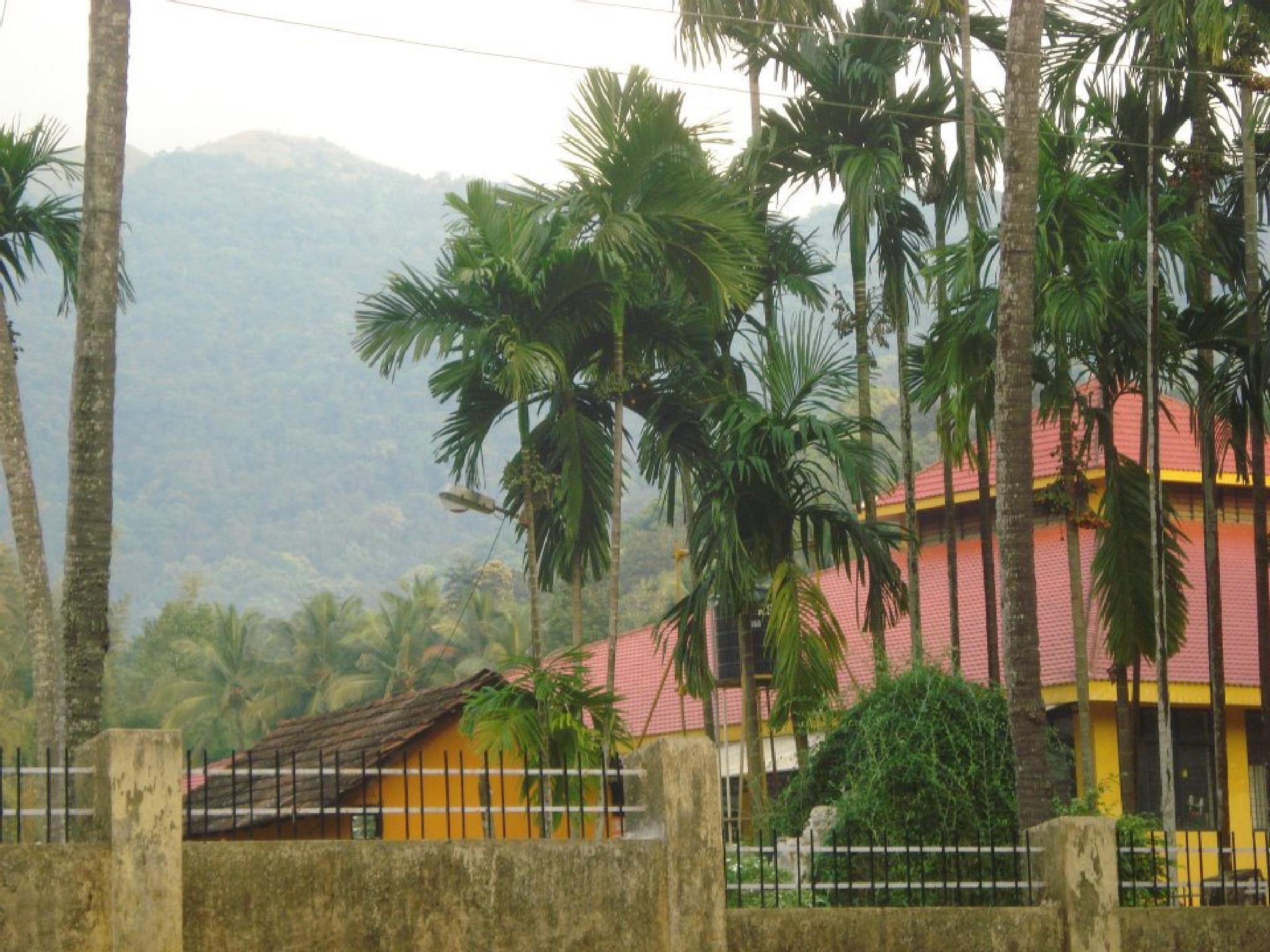 Betel nuts trees by Ajay Kumar