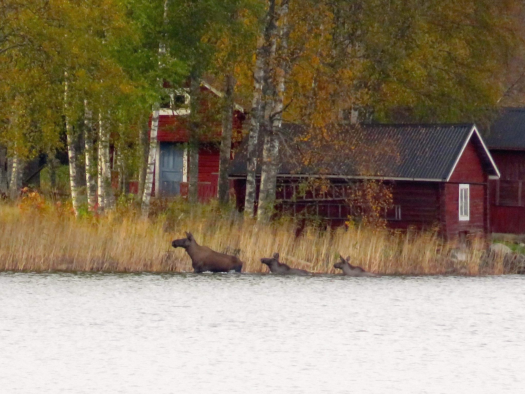 Swimming with mum  by Birgith Haraldsson