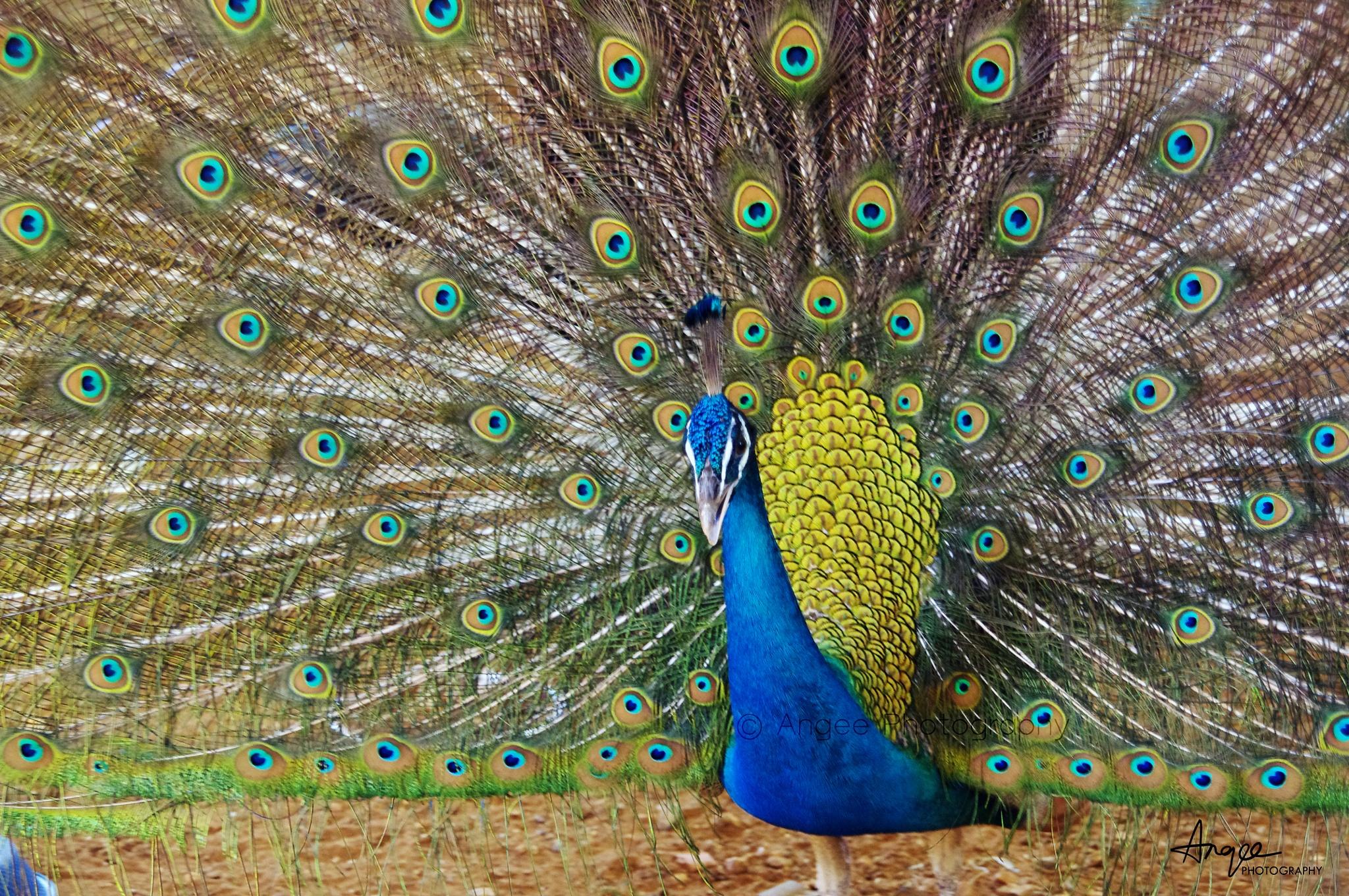 Peacock Dance by Angelo Nirojan
