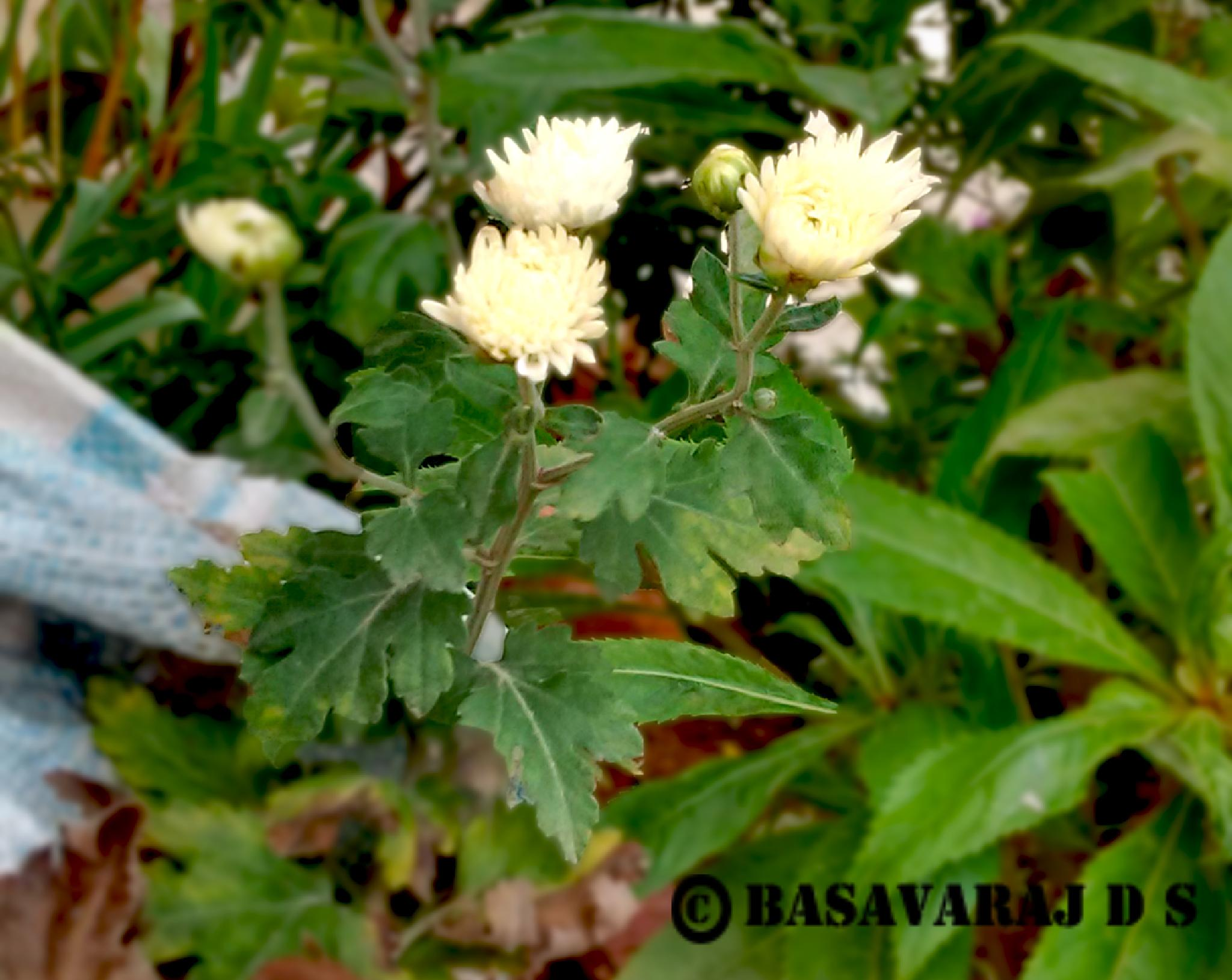 Lovely flower by Basavaraj D.S