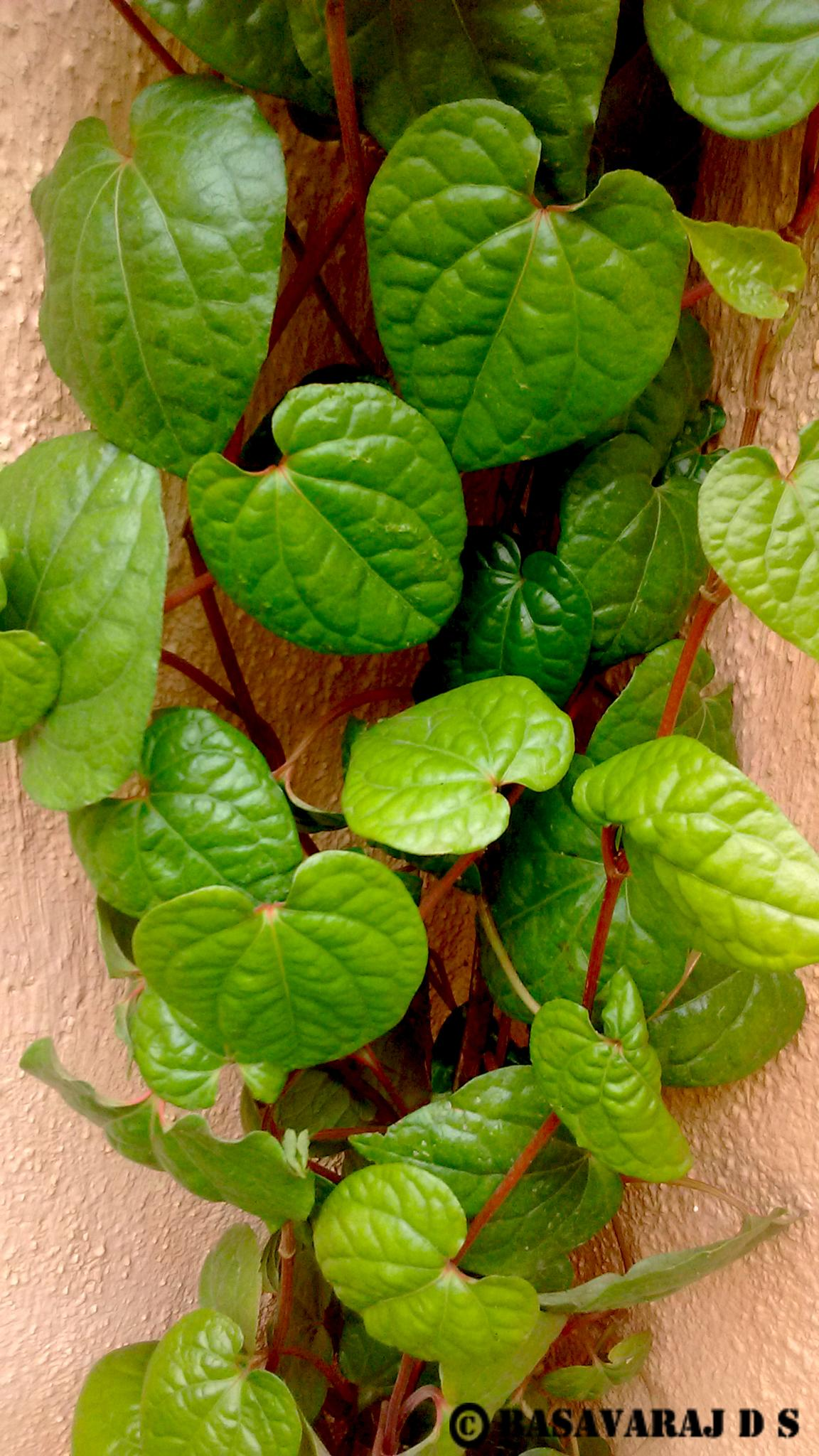 Leafs for spirutal works in india by Basavaraj D.S