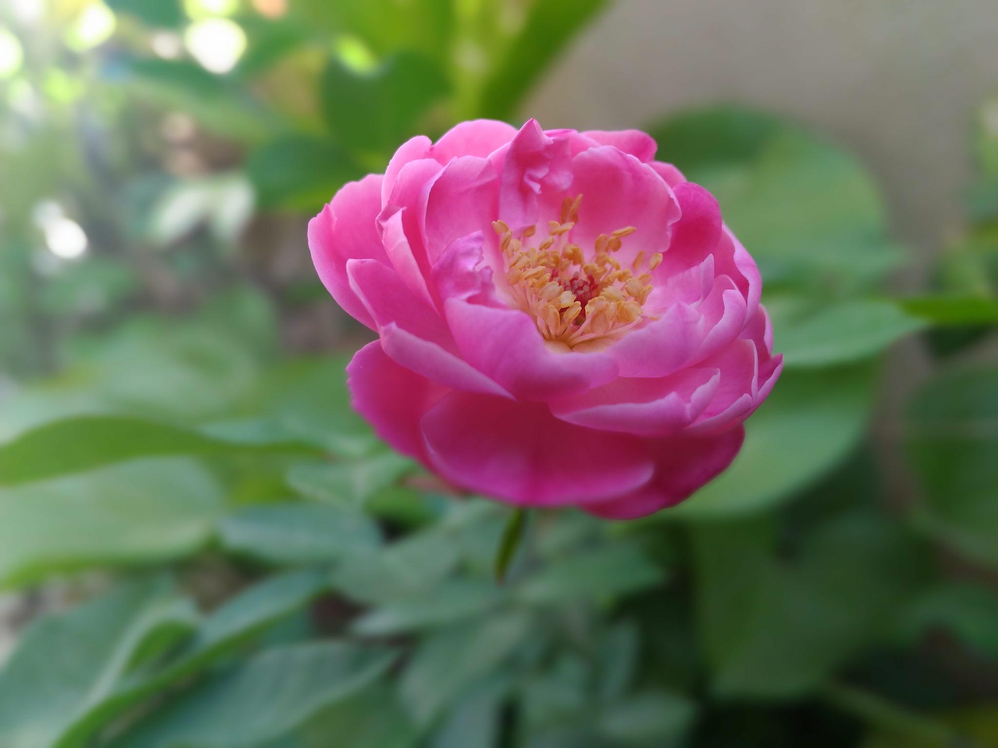 Rose by Basavaraj D.S