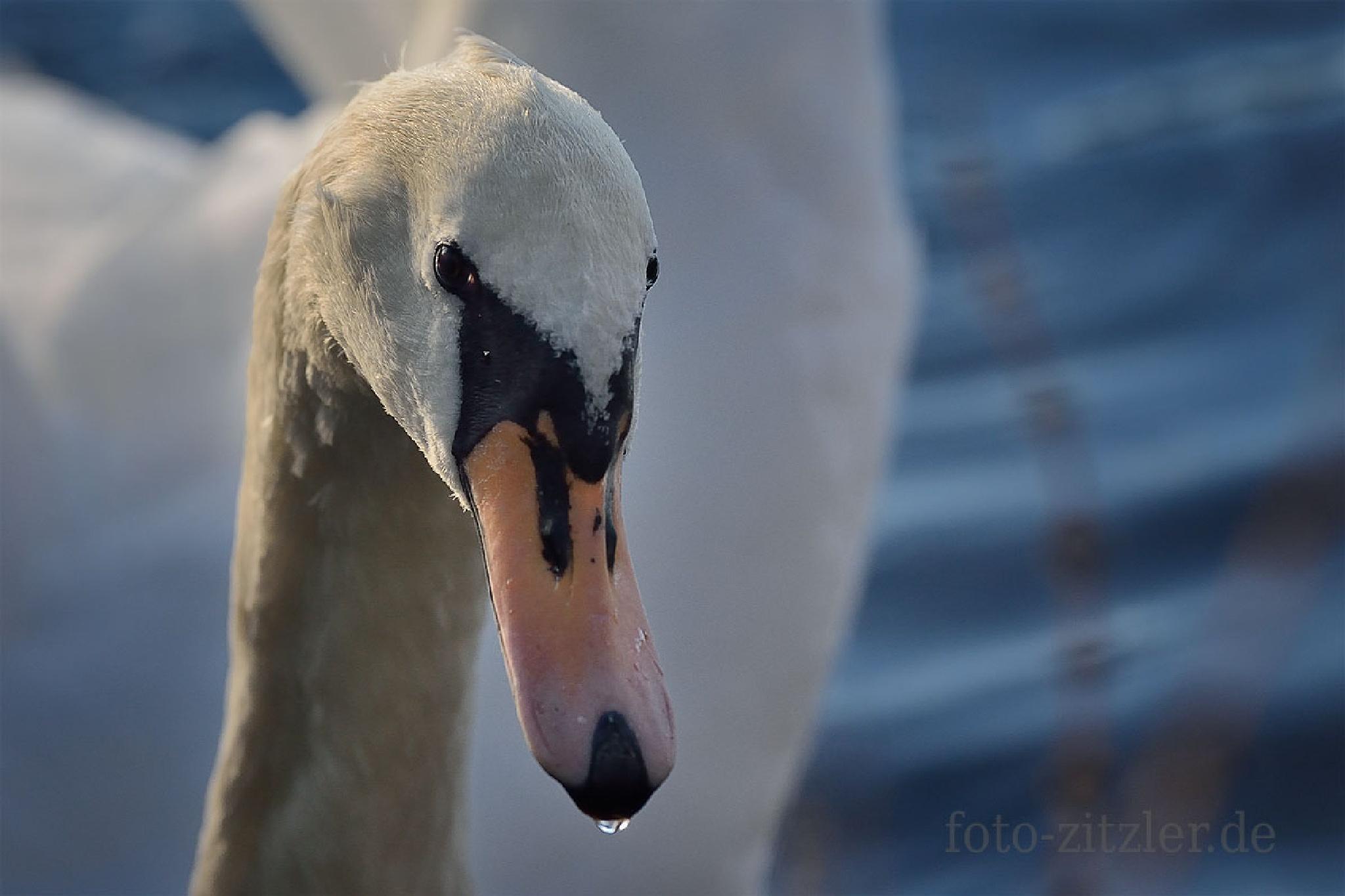 swan by Hans Zitzler