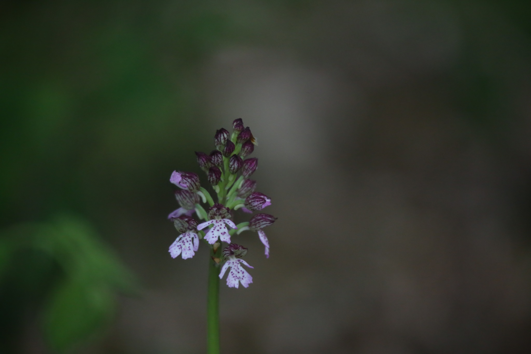 orchis pourpre by Droopy386