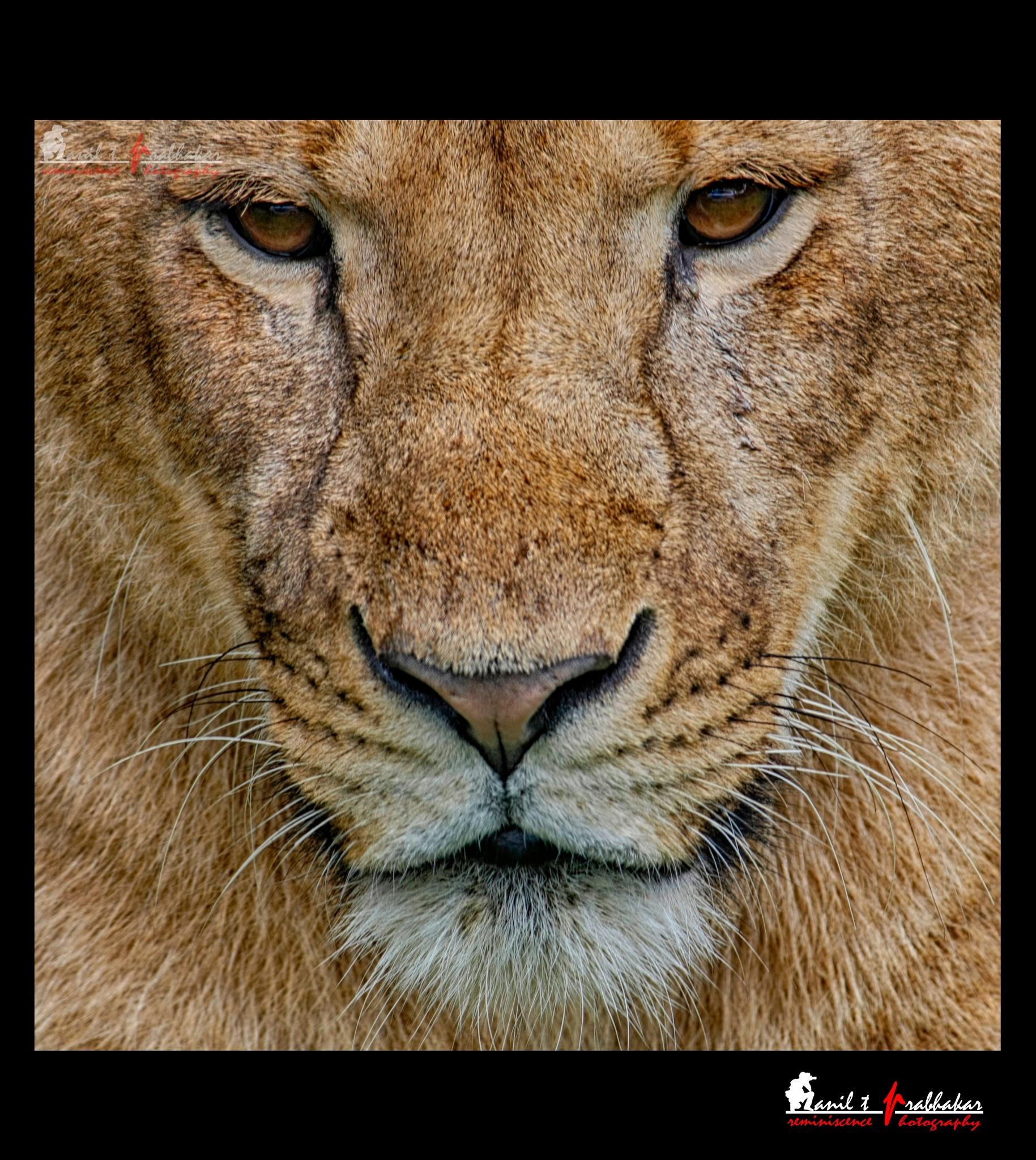 Lion by Anil T Prabhakar