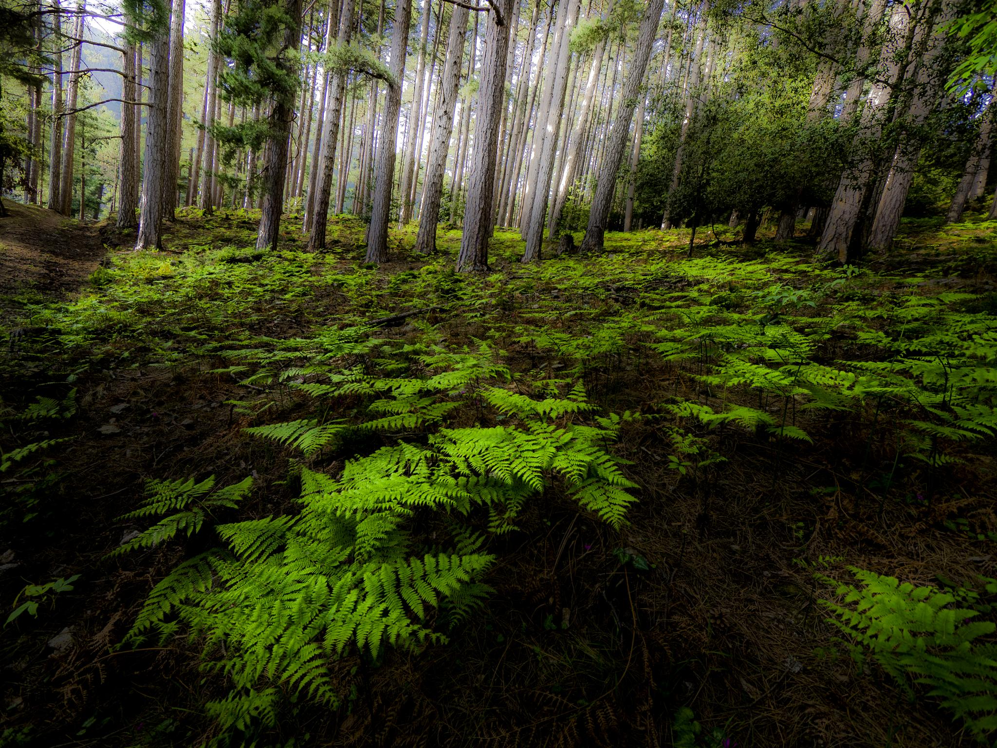 pines forest and ferns by Erik Jaud