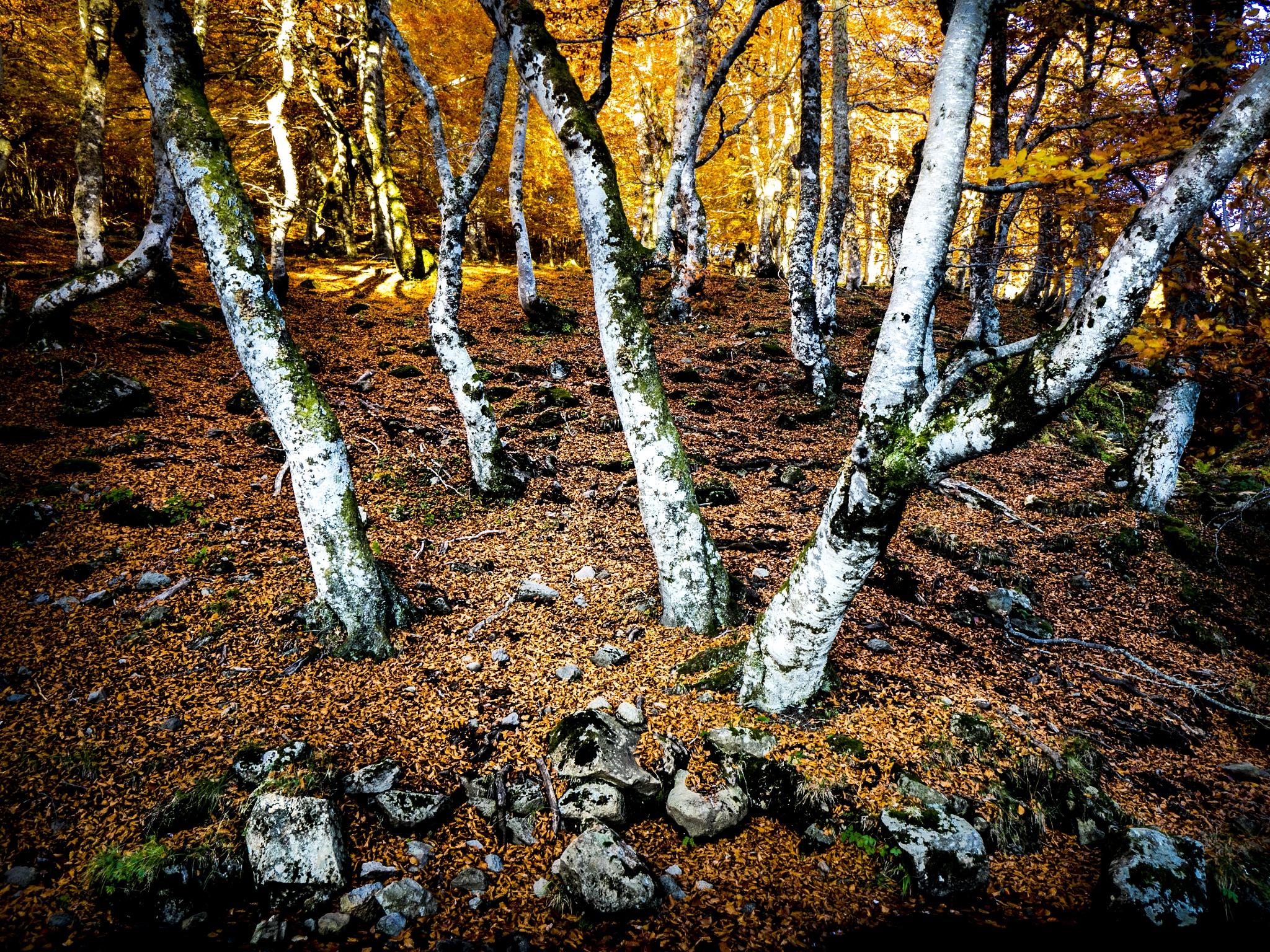 beeches undergrowth by Erik Jaud