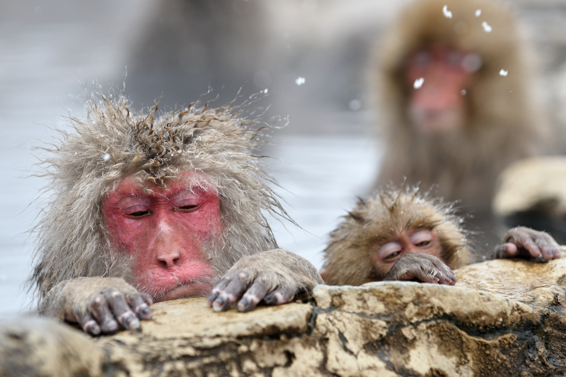 Snow Monkey, Relax in Spa by Mubi.A