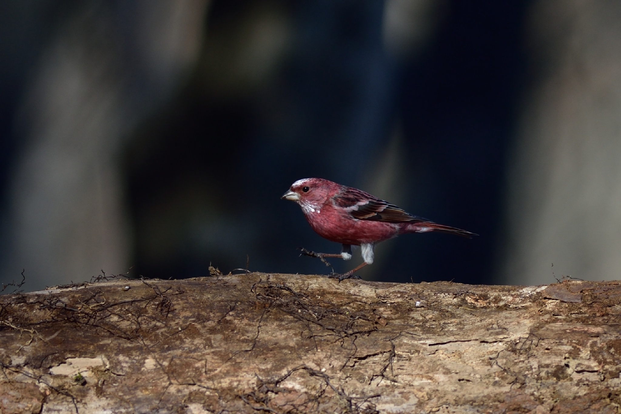 Pallas's rosefinch by Mubi.A
