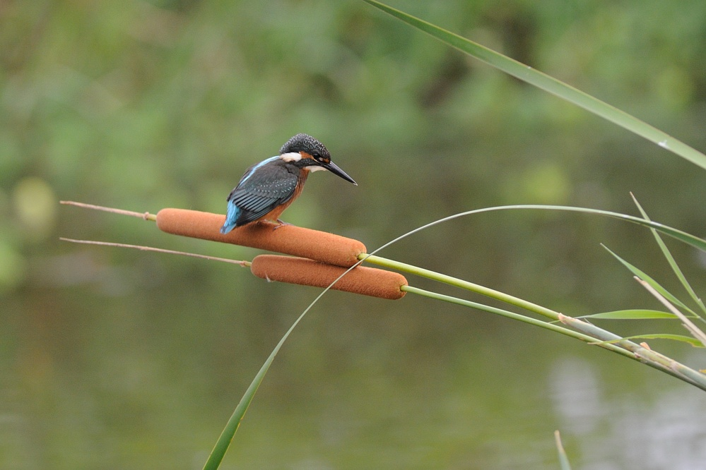 Kingfisher on Cattail by Mubi.A