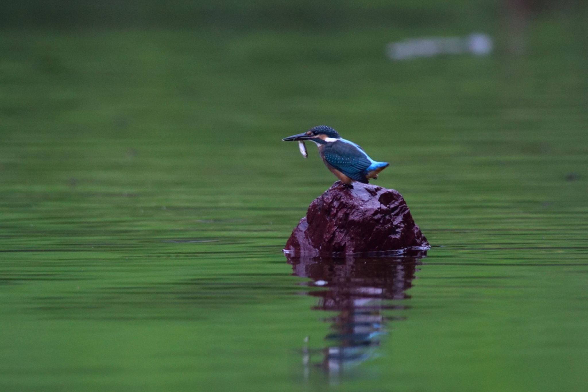 Kingfisher by Mubi.A
