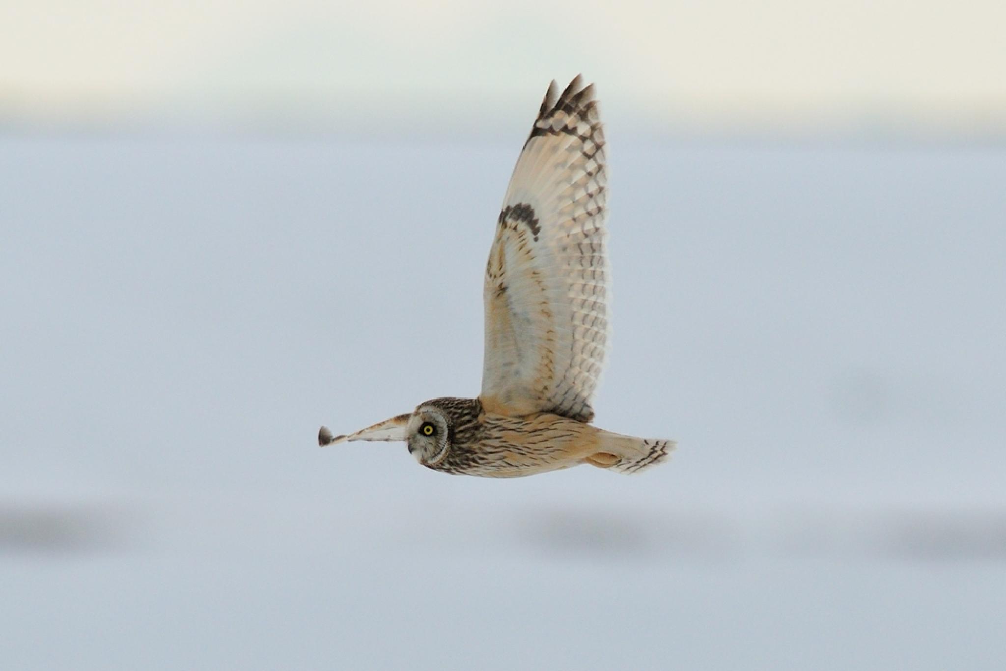 Short-eared Owl in Snow Field by Mubi.A