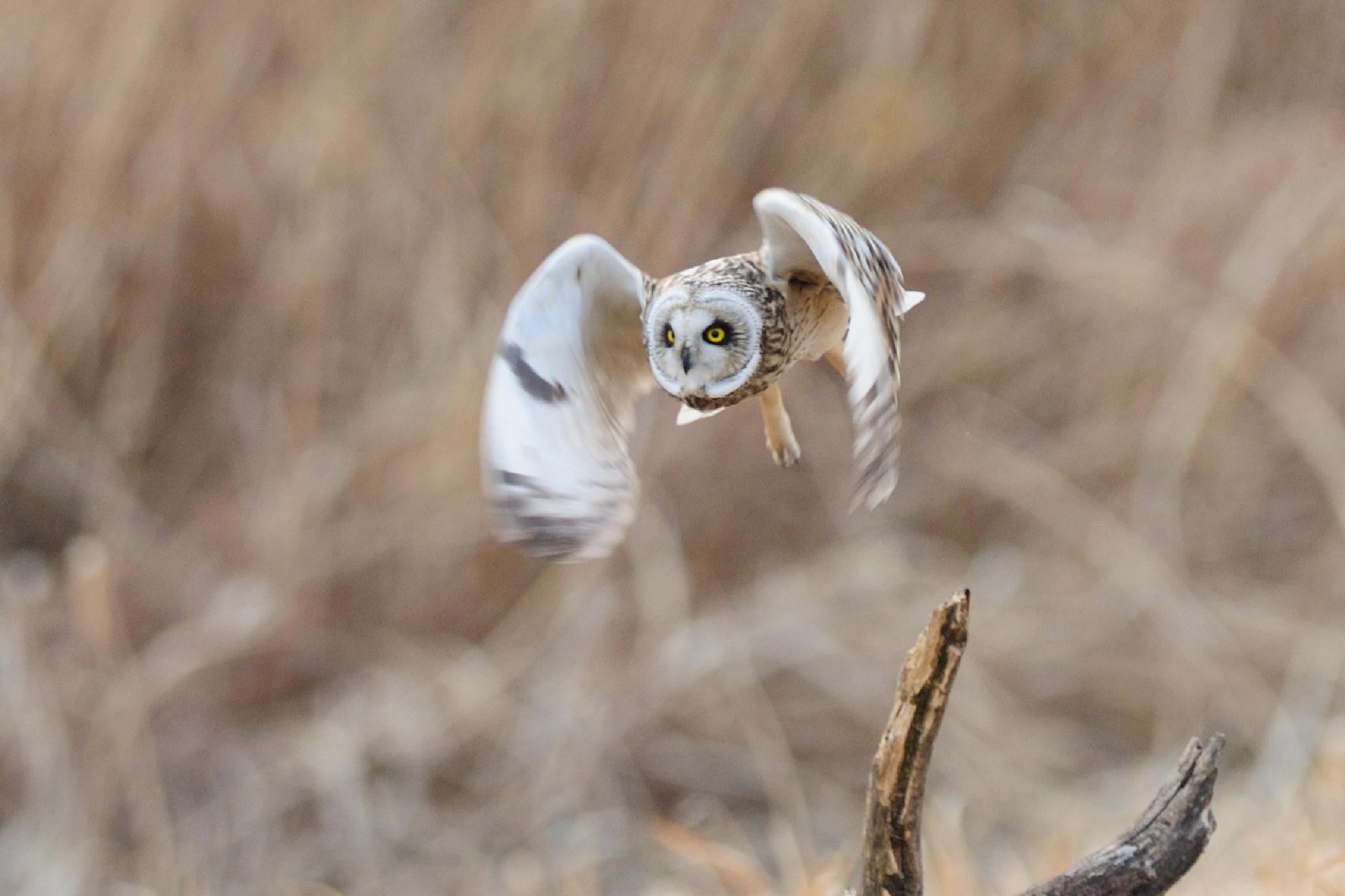 Photo in Animal #short-eared owl #bird #animal #nature