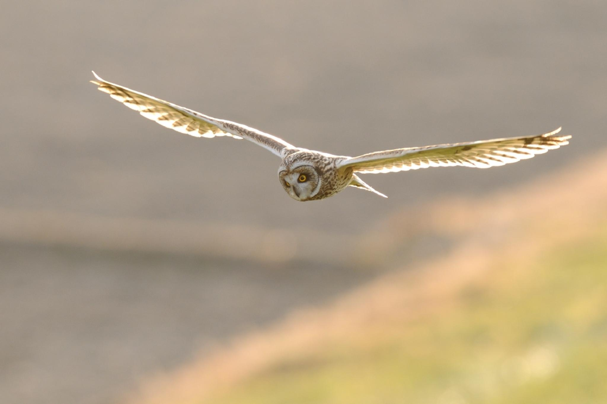 Short-eared Owl by Mubi.A