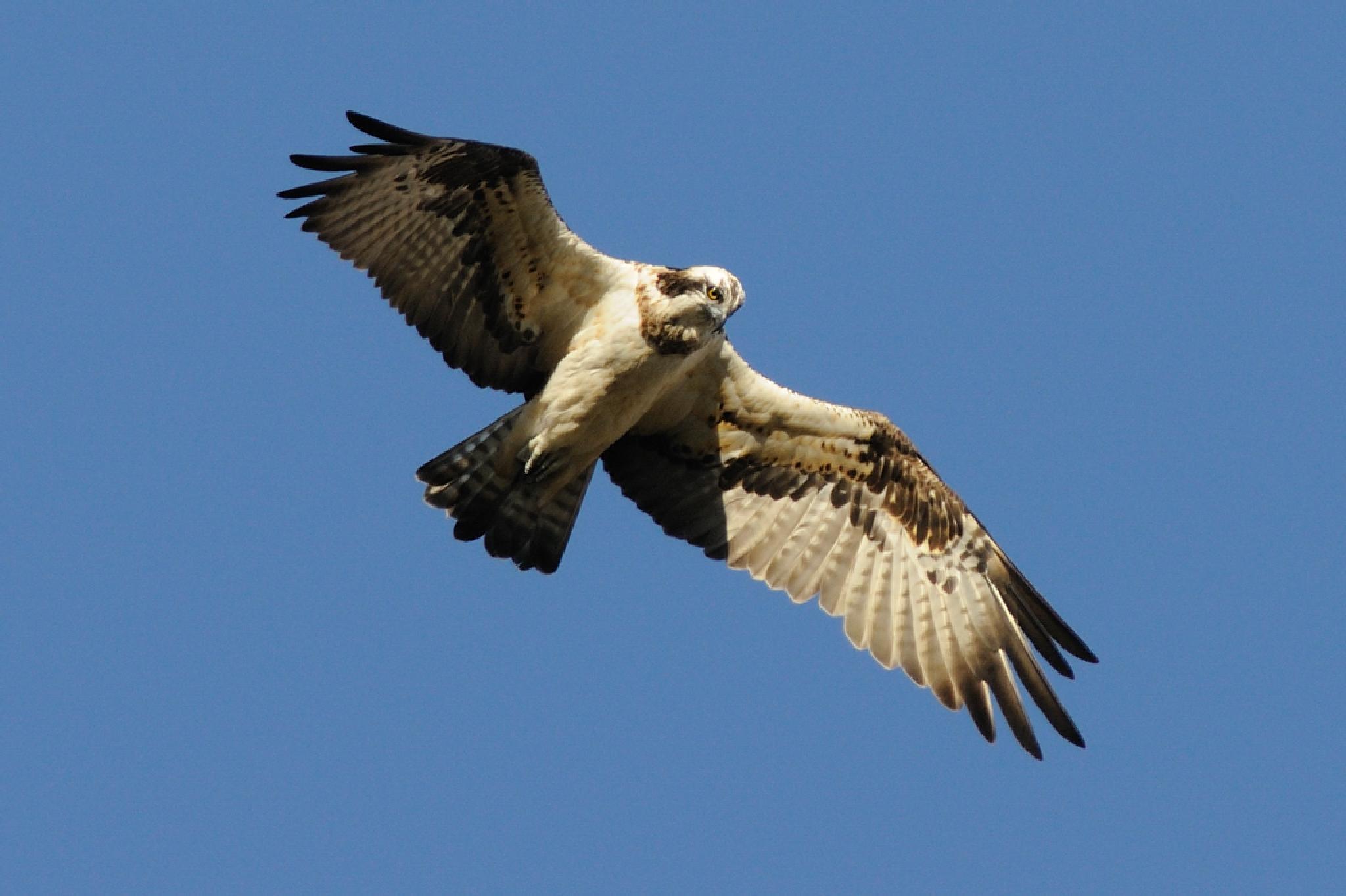 Osprey by Mubi.A